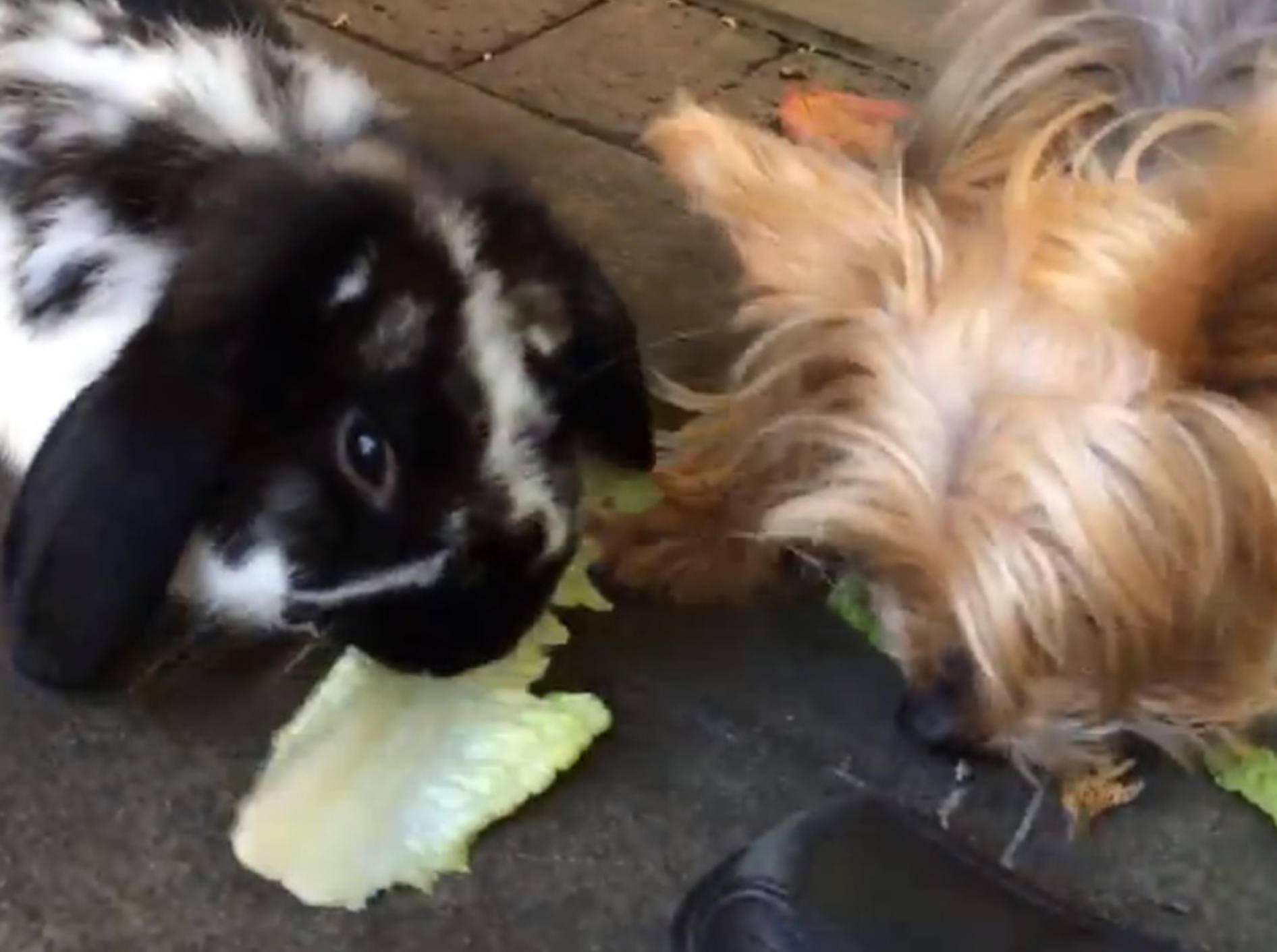 Süßer Yorkshire-Terrier klaut Kaninchen den Salat