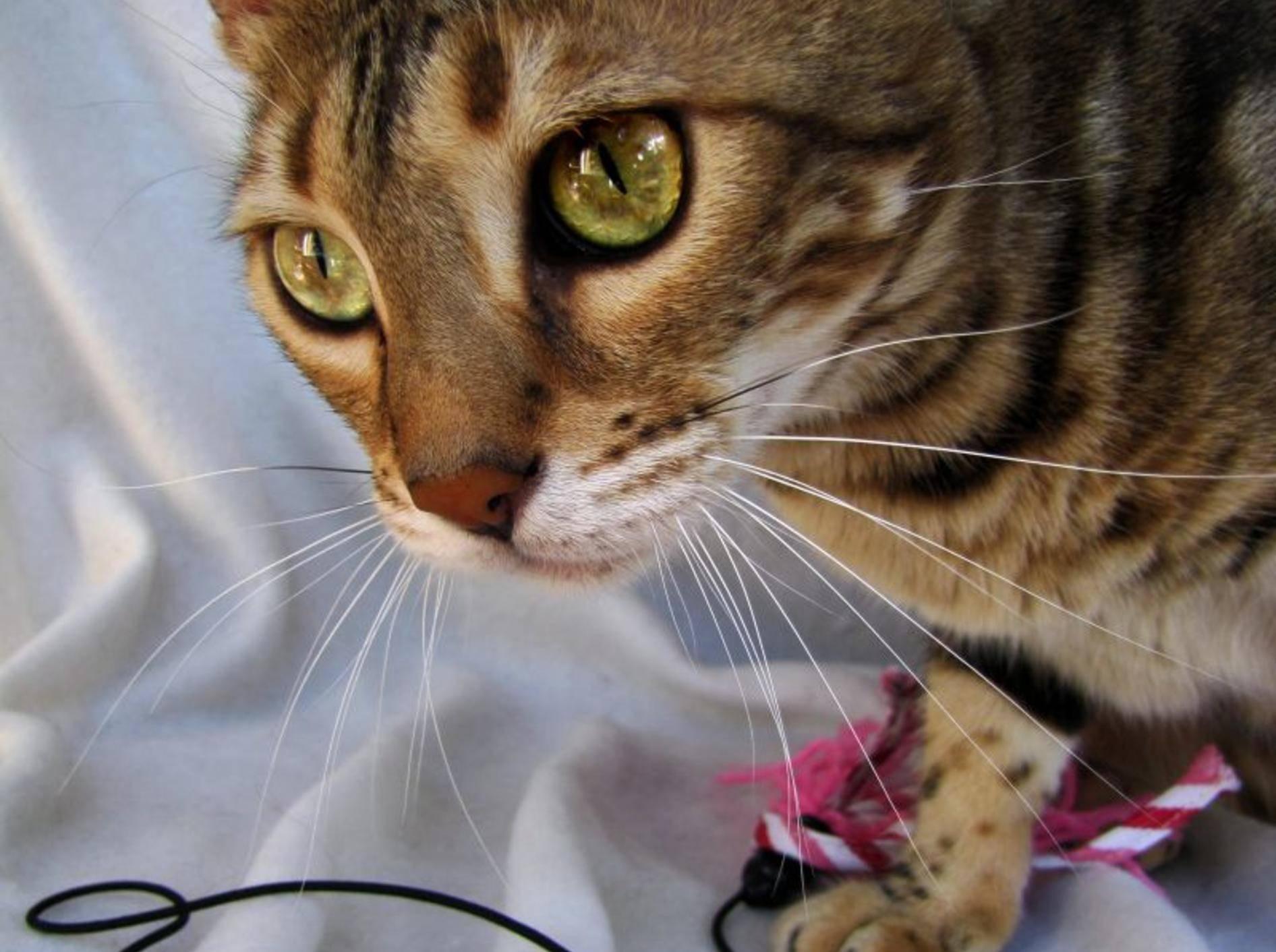 Die Bengal Katze braucht vor allen Dingen viel Platz zum Spielen und Toben – Bild: Shutterstock / Ilona Koeleman
