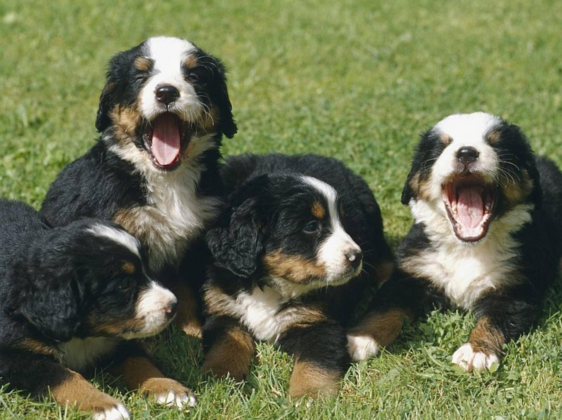Süß sind sie alle: Die Auswahl eine Hundewelpens ist oft gar nicht leicht – Bild: Shutterstock / Bildagentur Zoonar GmbH