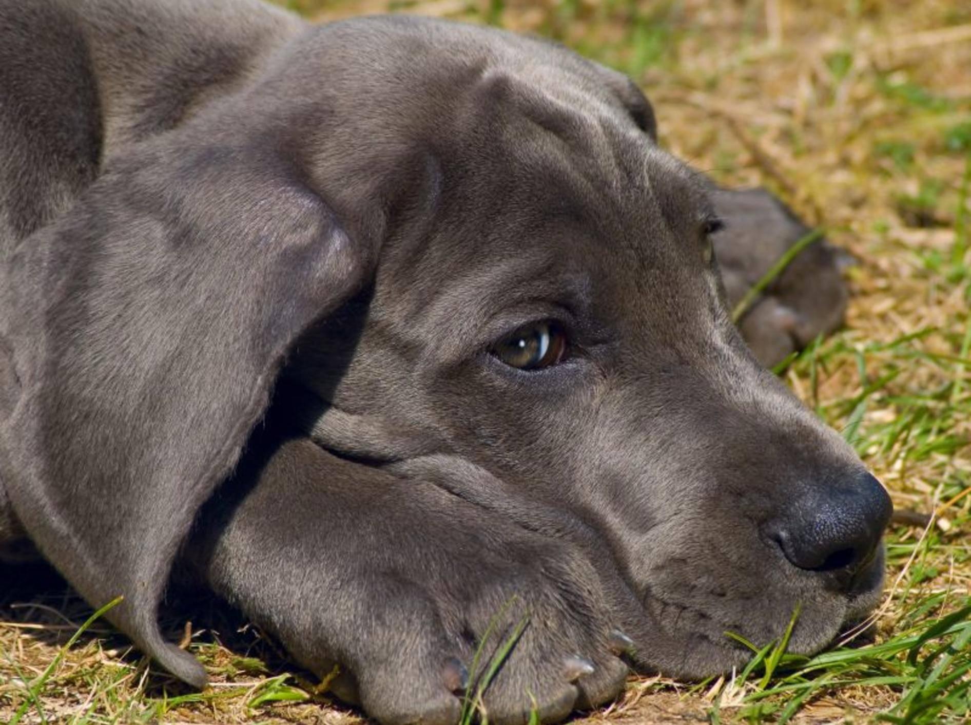 Die Deutsche Dogge ist zu Recht ein beliebter Hund. Sie ist sanft, ruhig und gutmütig – Bild: Shutterstock / Rey Kamensky