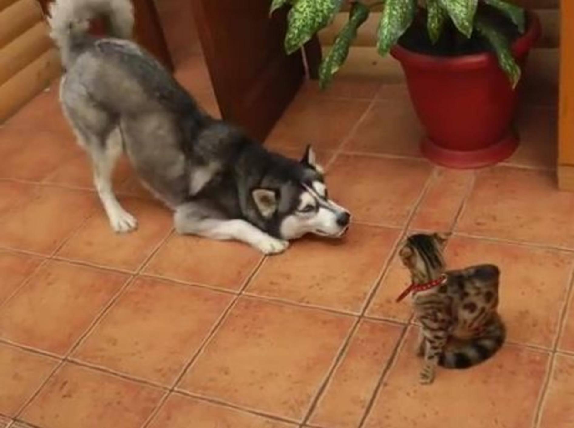 Husky bemüht sich herzallerliebst um Bengal-Katze – Bild: Youtube / eniem smol
