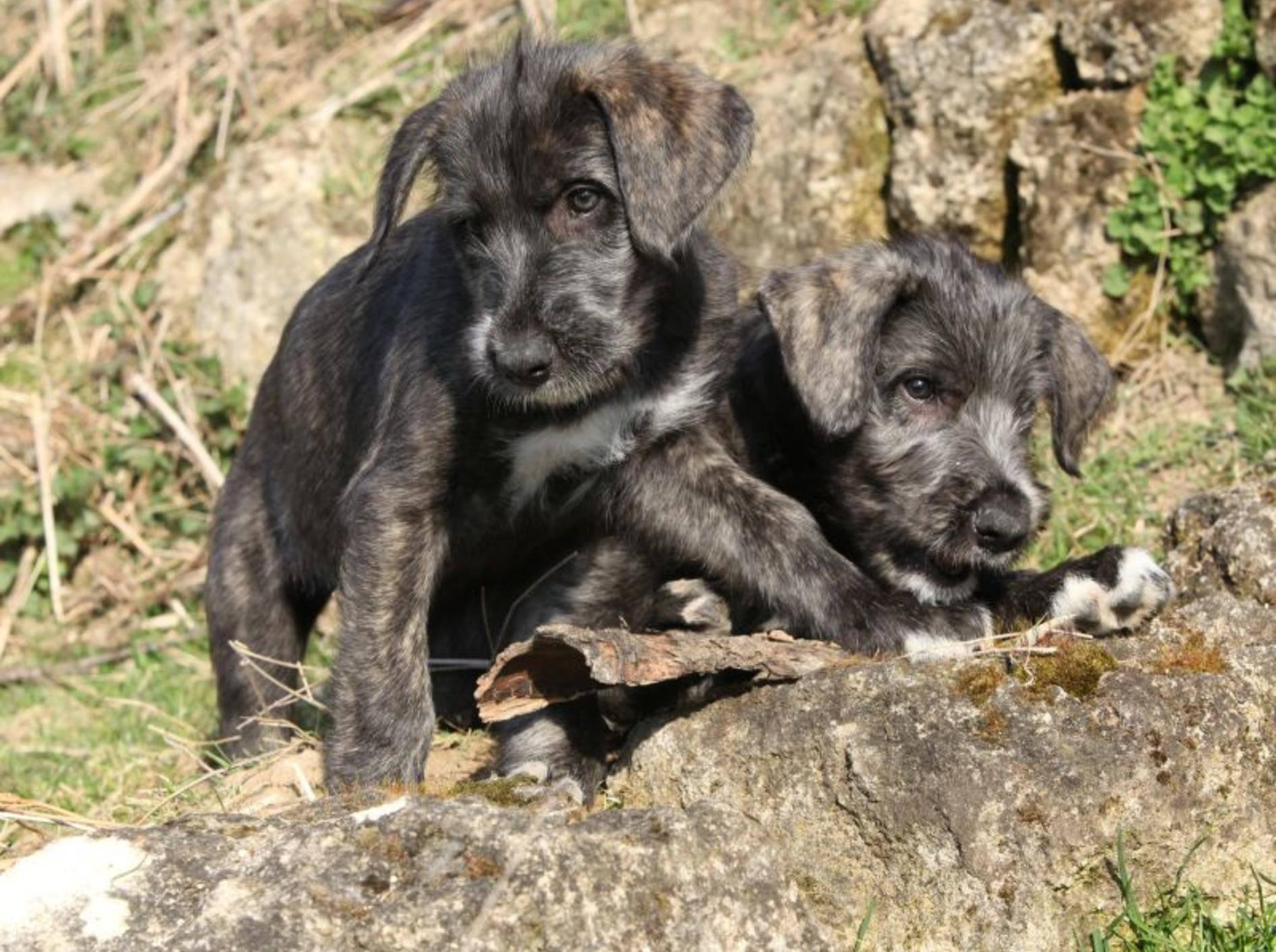 Diese Welpen beweisen: Jeder fängt mal klein an, auch Irische Wolfshunde – Bild: Shutterstock / Zuzule