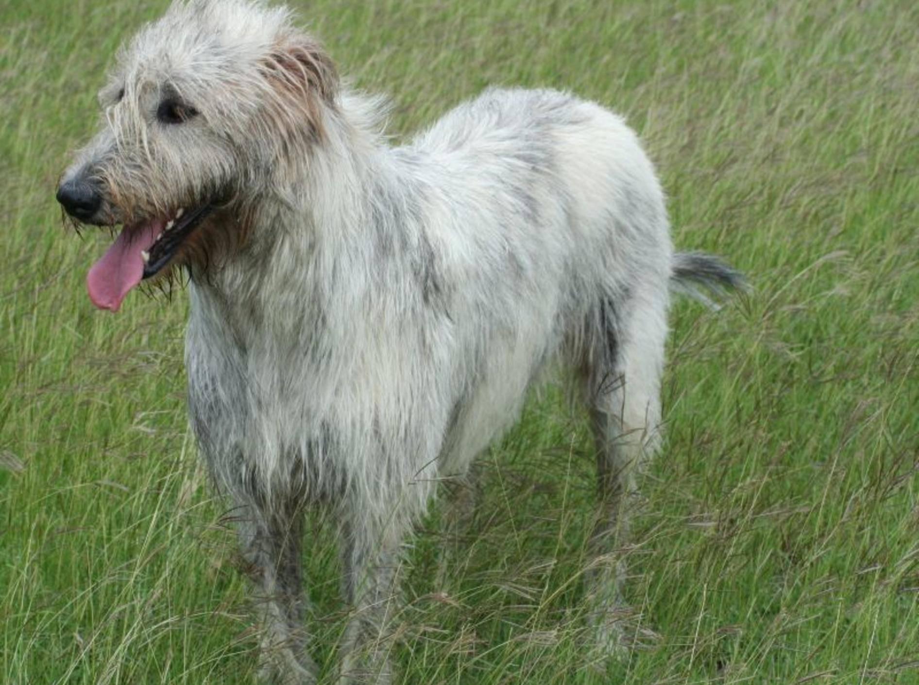 Ein Riese mit sanftem Charakter: Der Irische Wolfshund – Bild: Shutterstock / Poppography
