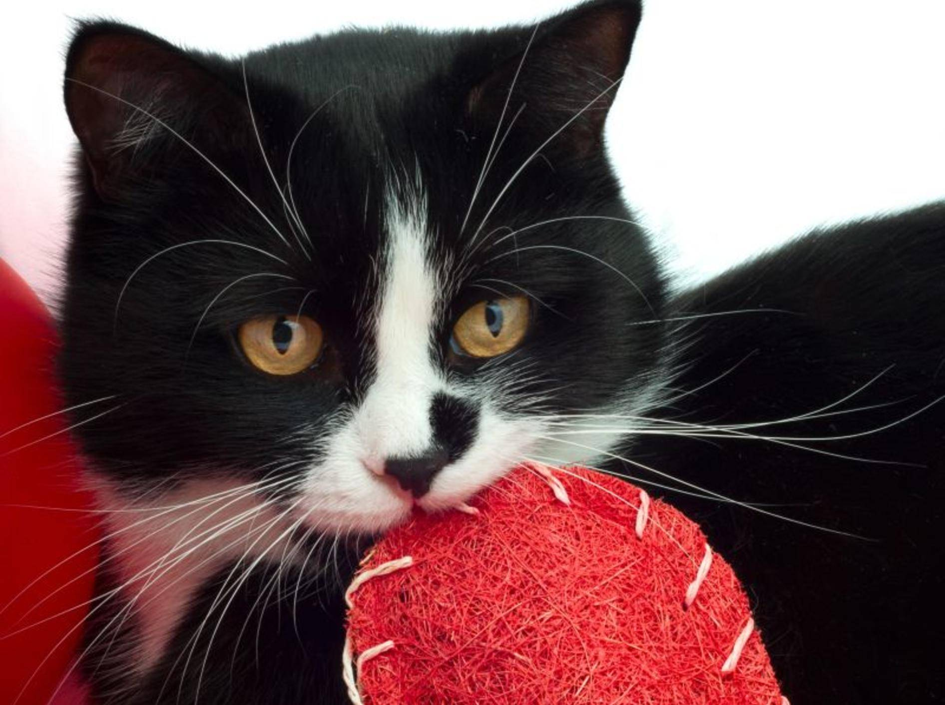 Tierische Valentinsgeschenke für Katzen – Bild: Shutterstock / NicO_l