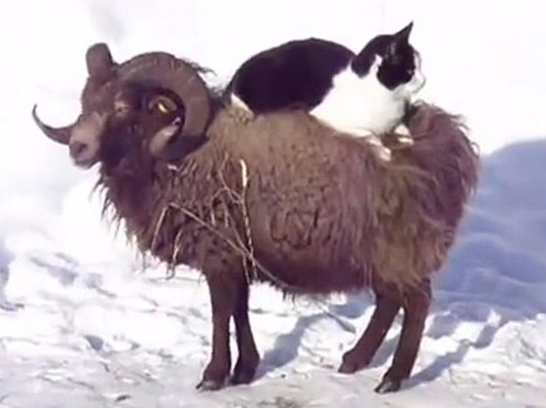 Bezaubernd: Katze nimmt ein Schafs-Taxi – Bild: Youtube / onecatvideoaday