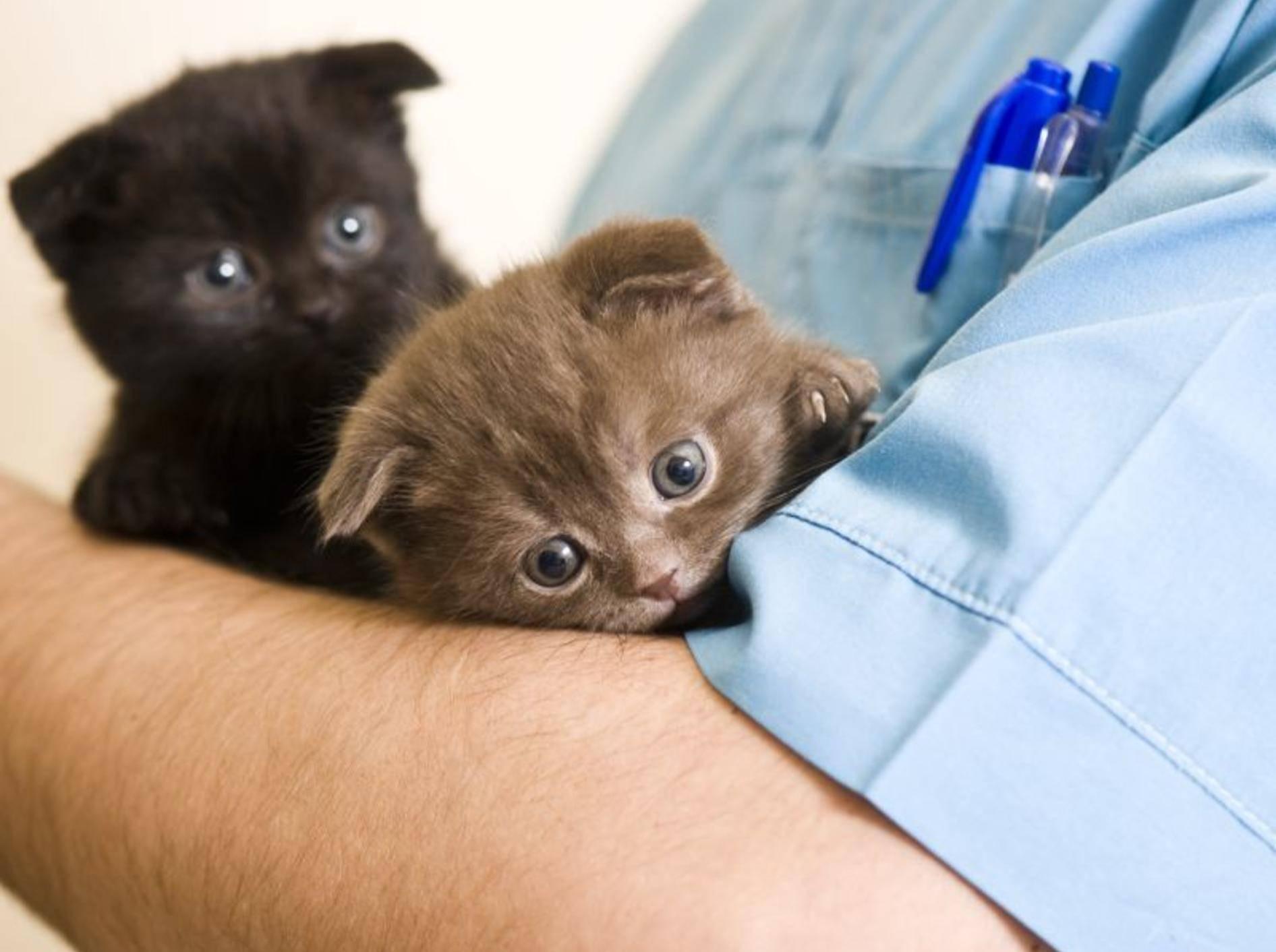Angst vor dem Tierarzt ist bei vielen Katzen ein Problem – Bild: Shutterstock / Kachalkina Veronika