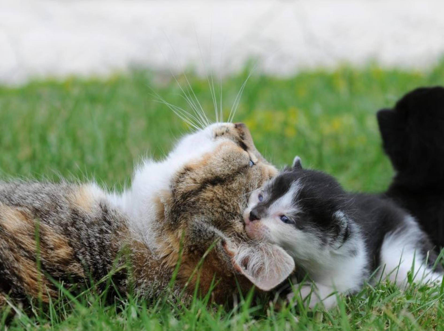 Der Mensch kann Katzenbabys unter zwölf Wochen ihre Mutter nicht ersetzen – Bild: Shutterstock / Schubbel