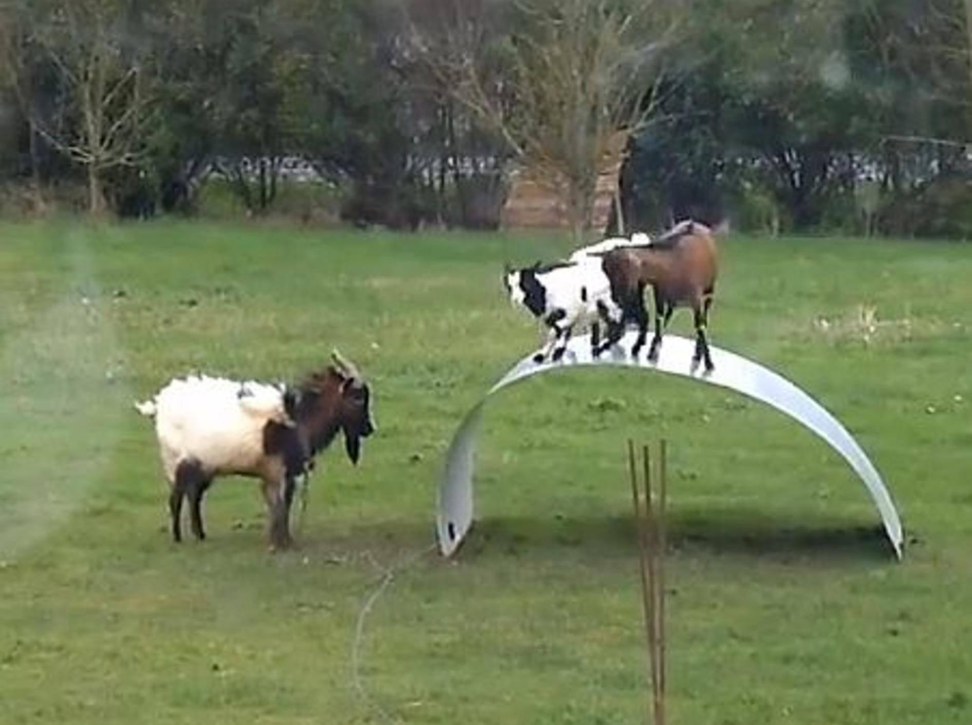 Lustige Ziegen haben einen Riesenspaß – Bild: Youtube / Max Murs