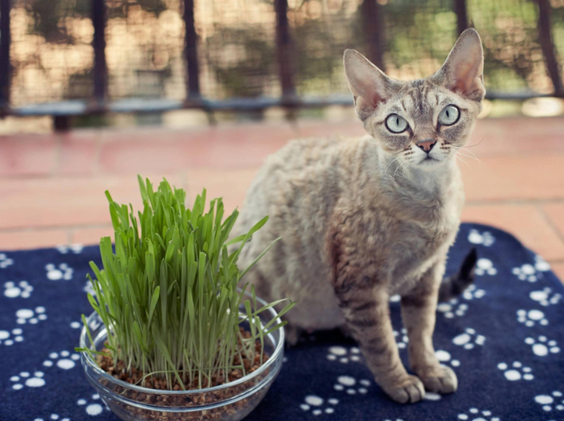 Viermal gesundes Katzengras für Ihren Stubentiger – Bild: Shutterstock / Veera