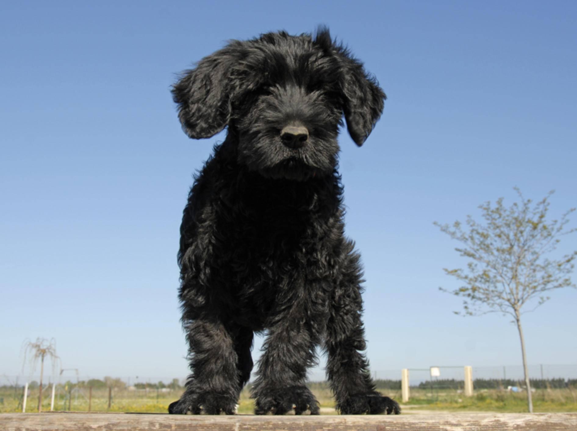 Portugiesische Wasserhunde sind nicht nur als Welpen zuckersüß – Bild: Shutterstock / cynoclub