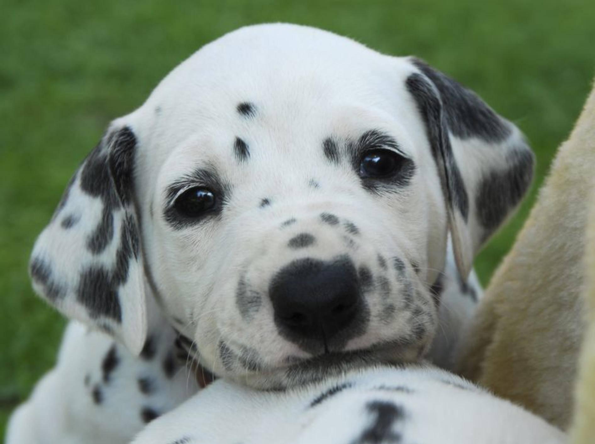 Dalmatiner sind tolle Hunde, die einen erfahrenen Besitzer brauchen – Bild: Shutterstock / Bildagentur Zoonar GmbH