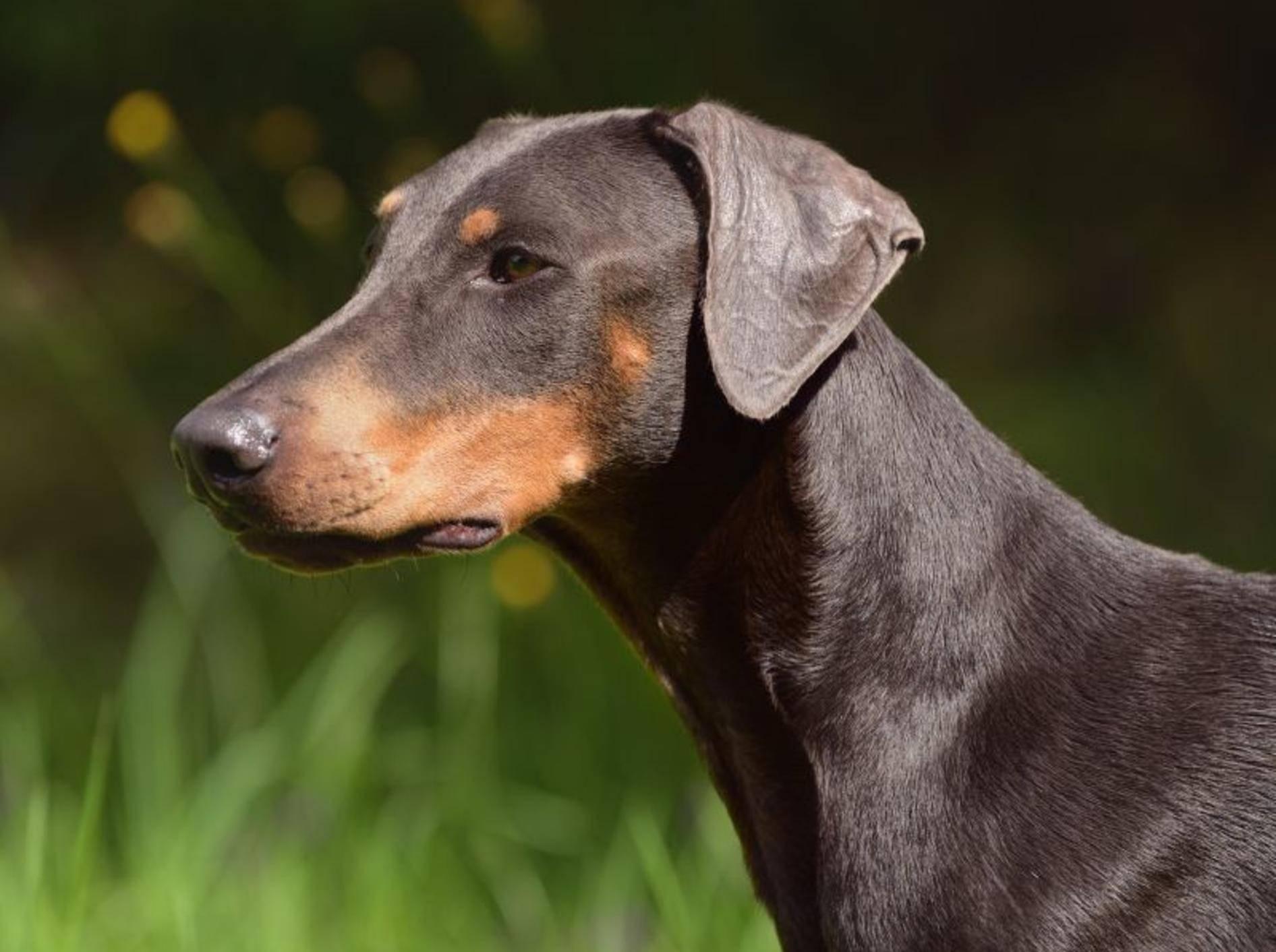 Intelligent, sensibel und ausgeglichen: Ein gut erzogener Dobermann hat viele tolle Eigenschaften – Bild: Shutterstock / AnetaPics