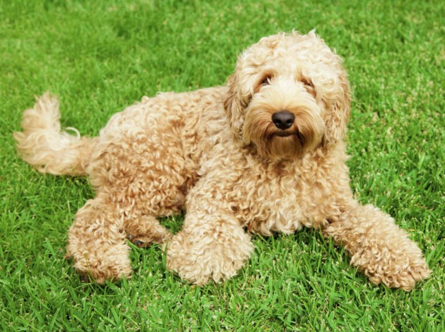 Der Labradoodle gilt als beliebter Hund für Allergiker – Bild: Shutterstock / zstock