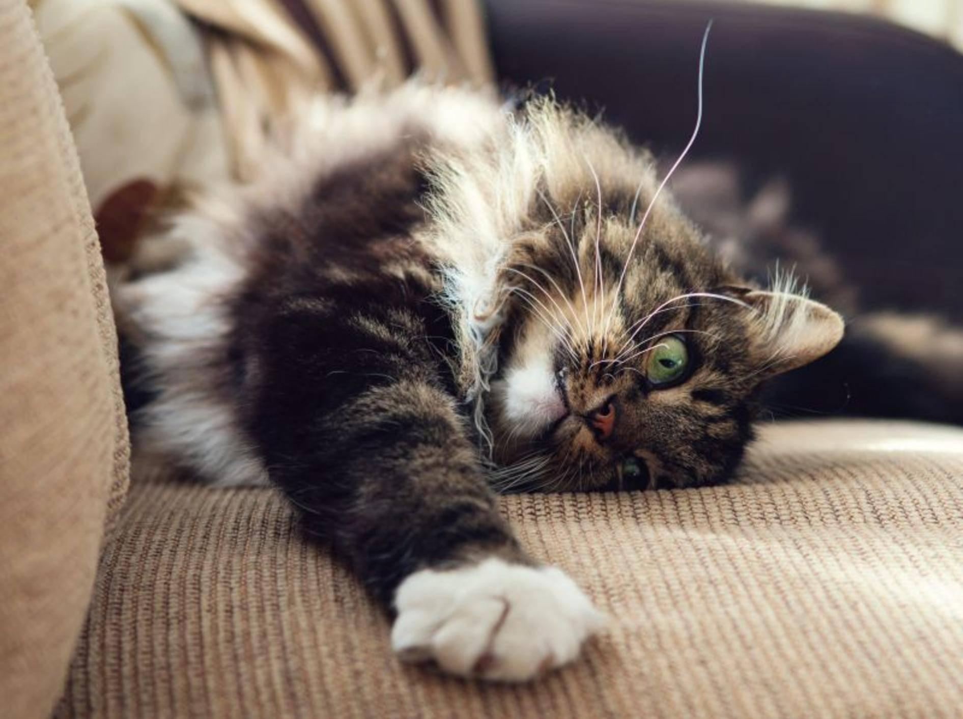 Die Norwegische Waldkatze hat einen ruhigen, aber keineswegs langweiligen Charakter – Bild: Shutterstock / Magdanatka
