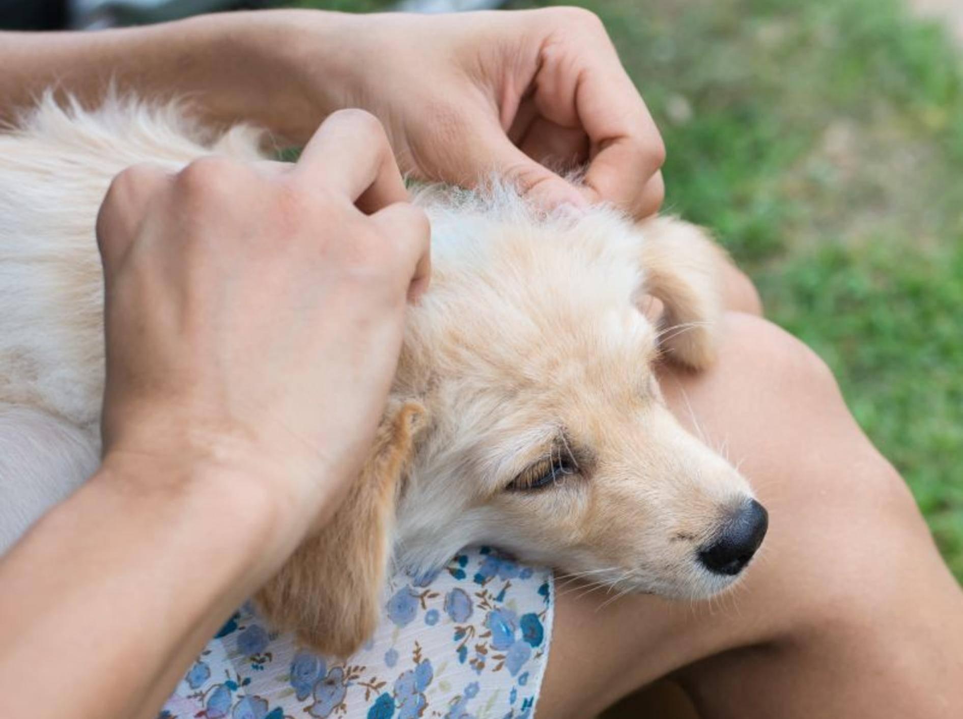 Zecken bei Hunden vorbeugen und entfernen – Bild: Shutterstock / Sakonboon Sansri