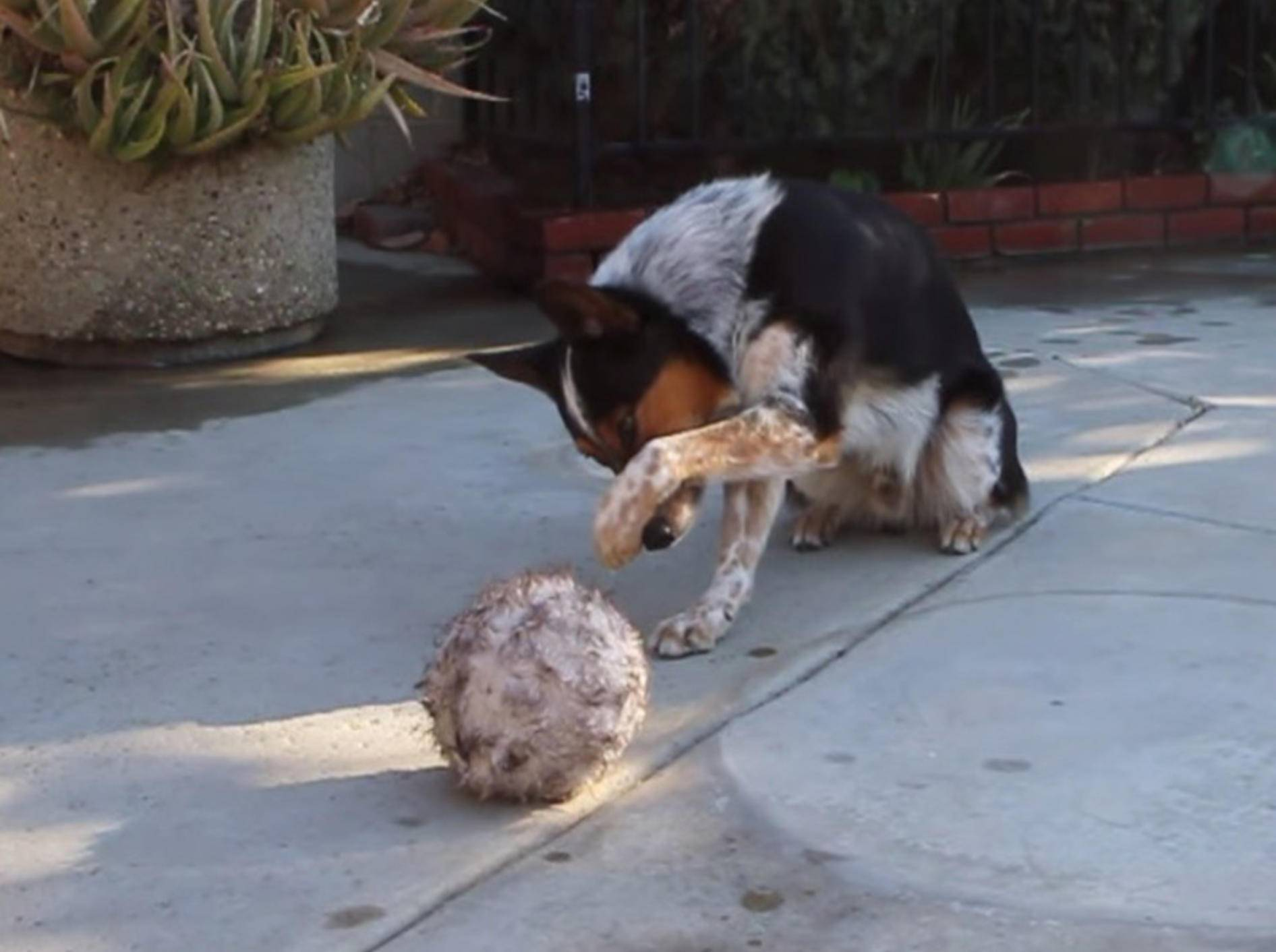 Schlauer Hund hört auf jedes Wort seines Herrchens – Bild: Youtube / Omar von Muller