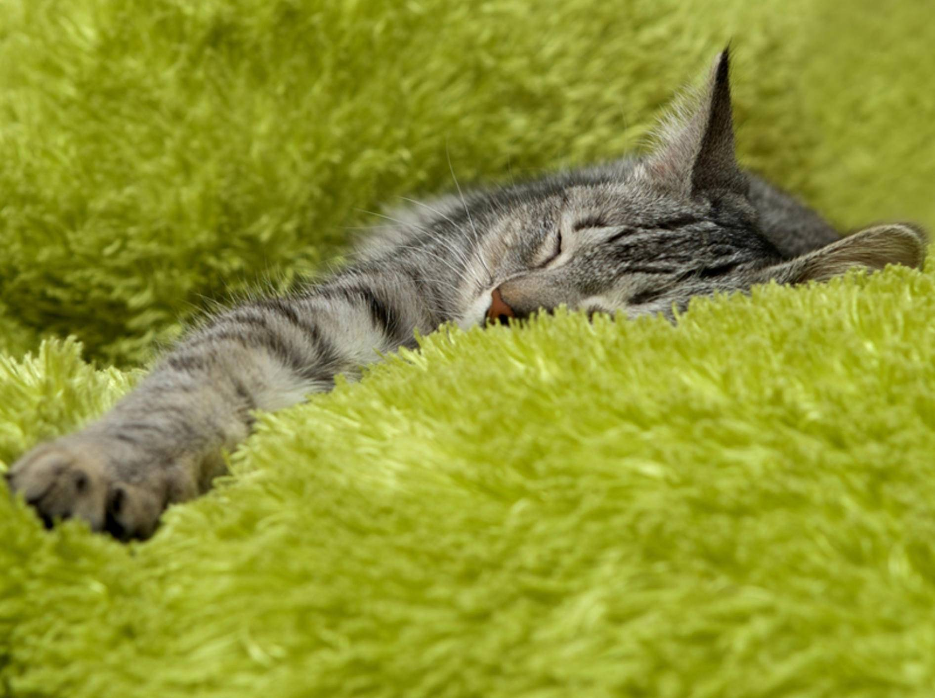 Wie lässt sich bei einer Katze Fieber messen? – Bild: Shutterstock / Renata Apanaviciene