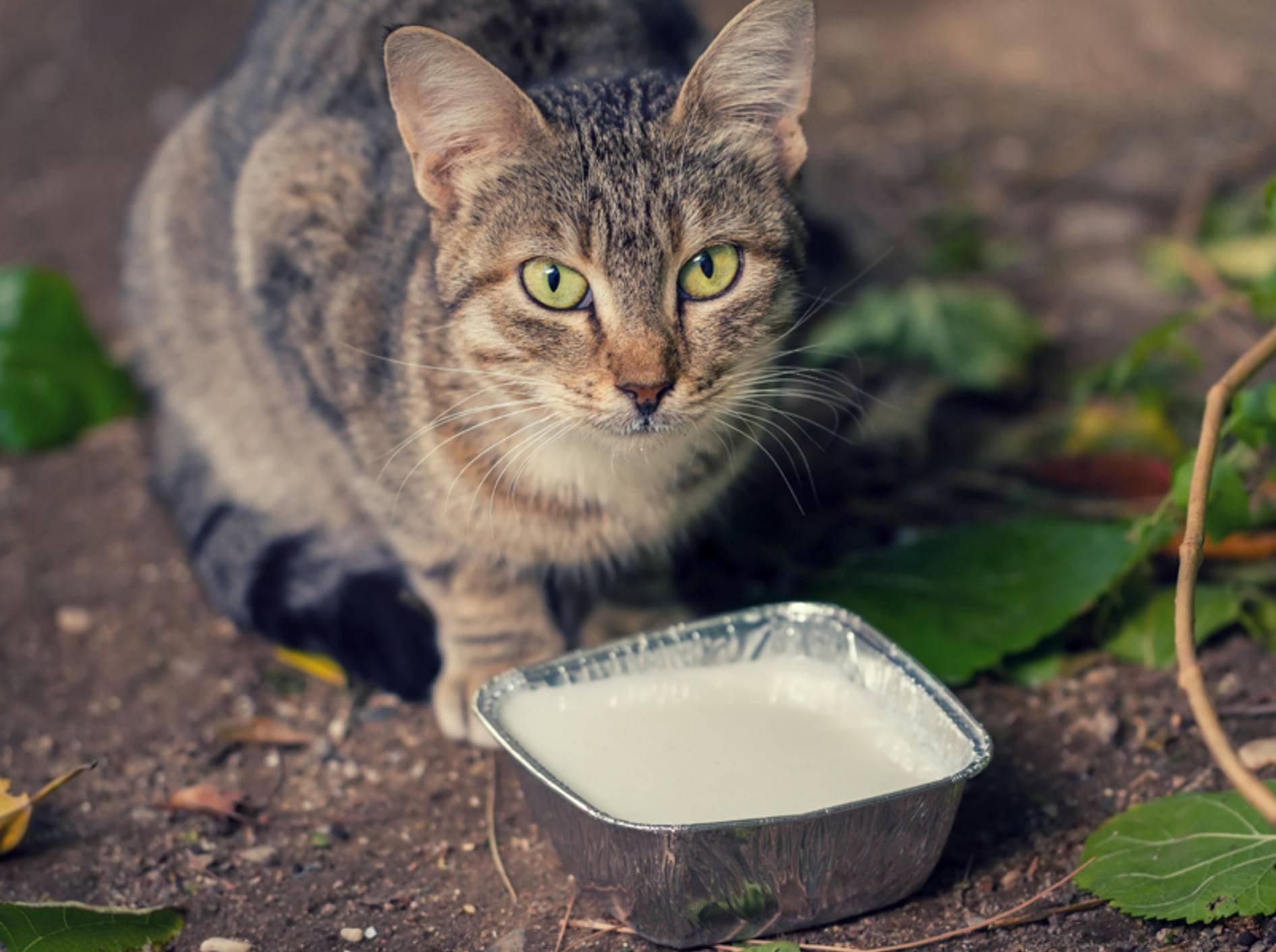 Katze-trinkt-Milch-Shutterstock-Bahadir Yeniceri