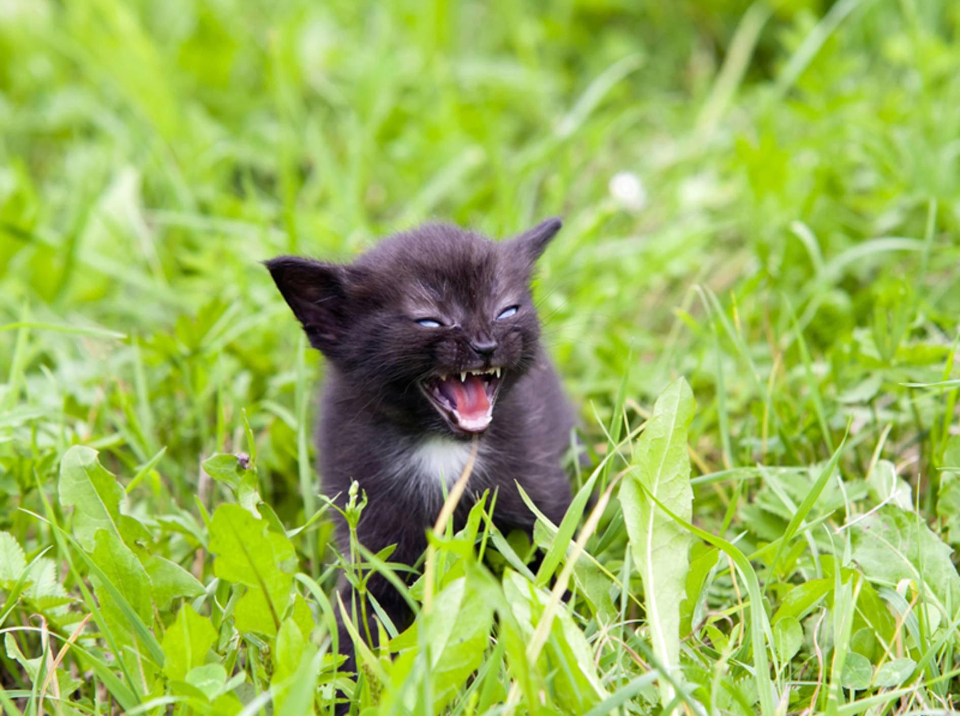 Die Symptome von Tollwut bei Katzen sind im Anfangsstadium schwer zu erkennen – Bild: Shutterstock / siloto