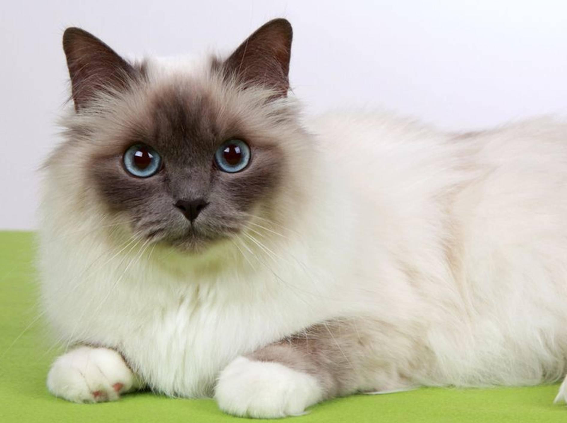 Eine schöne und liebevolle Familienkatze: Die Heilige Birma – Bild: Shutterstock / Bildagentur Zoonar GmbH