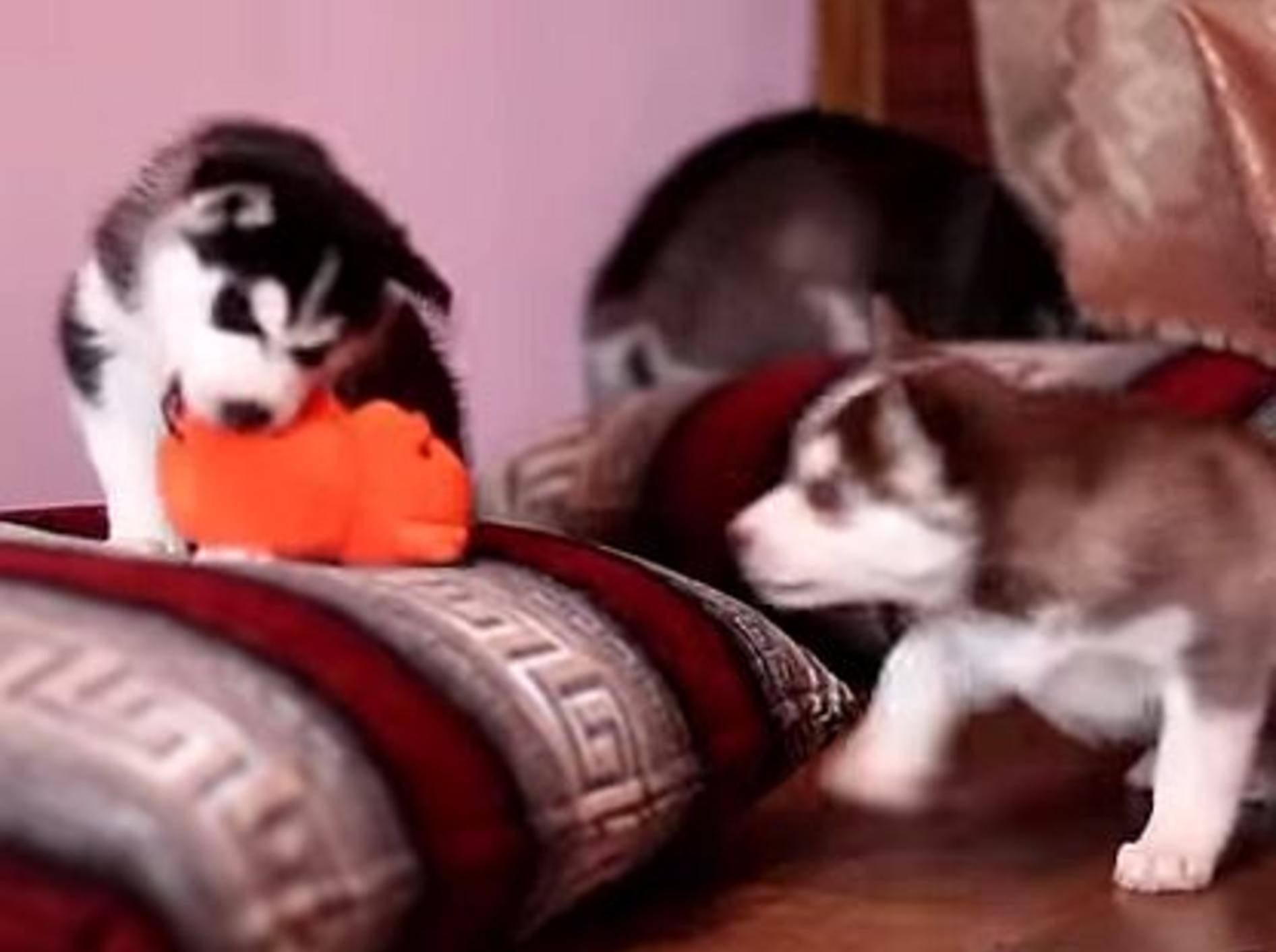 Vier kleine Huskys, ein Spielzeug – wer bekommt's? – Bild: Youtube / Miss Aww