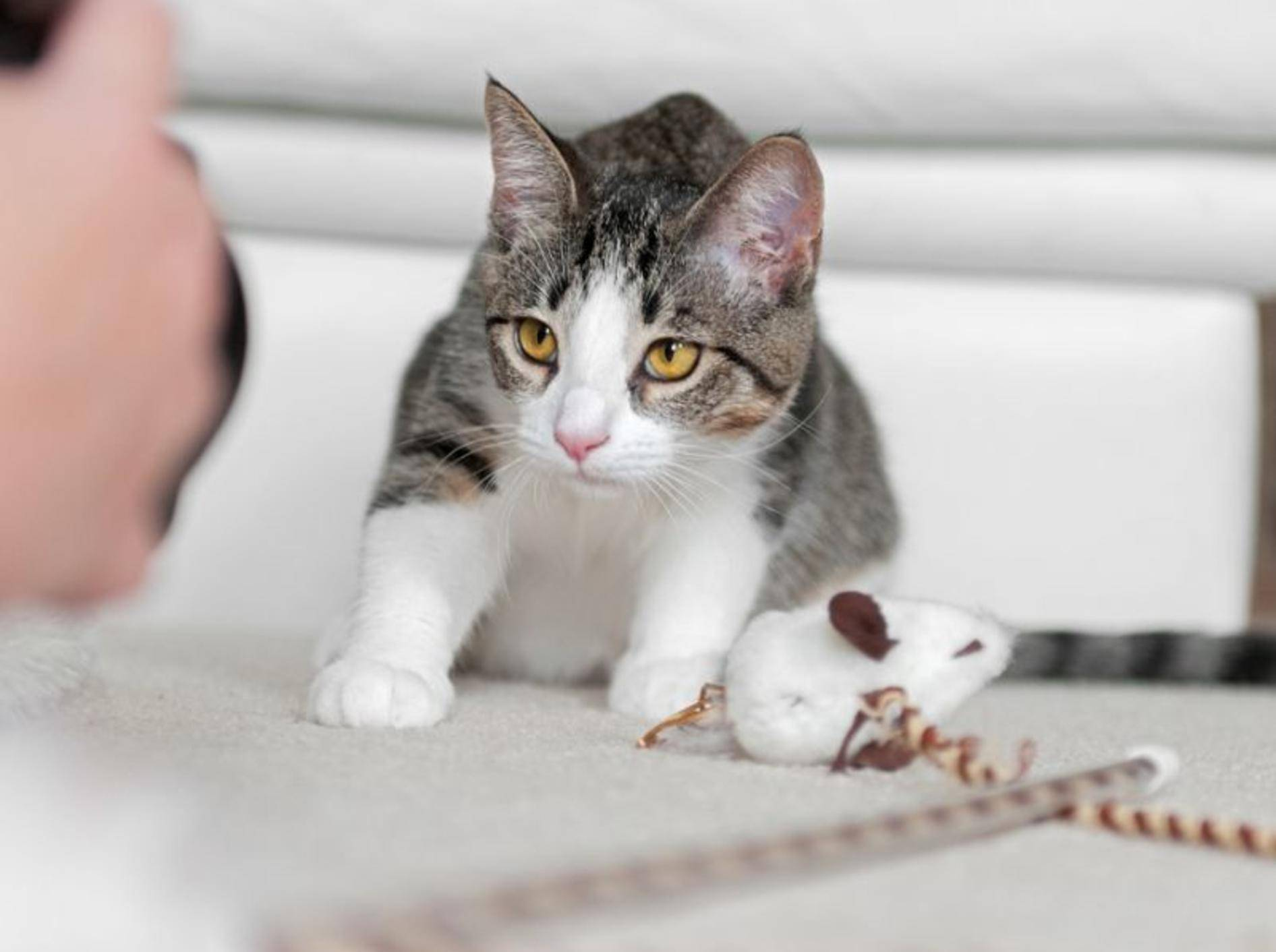 Inkonsequenz und zu viel Härte sind häufige Fehler in der Katzenerziehung – Bild: Shutterstock / Geoffrey-Kuchera