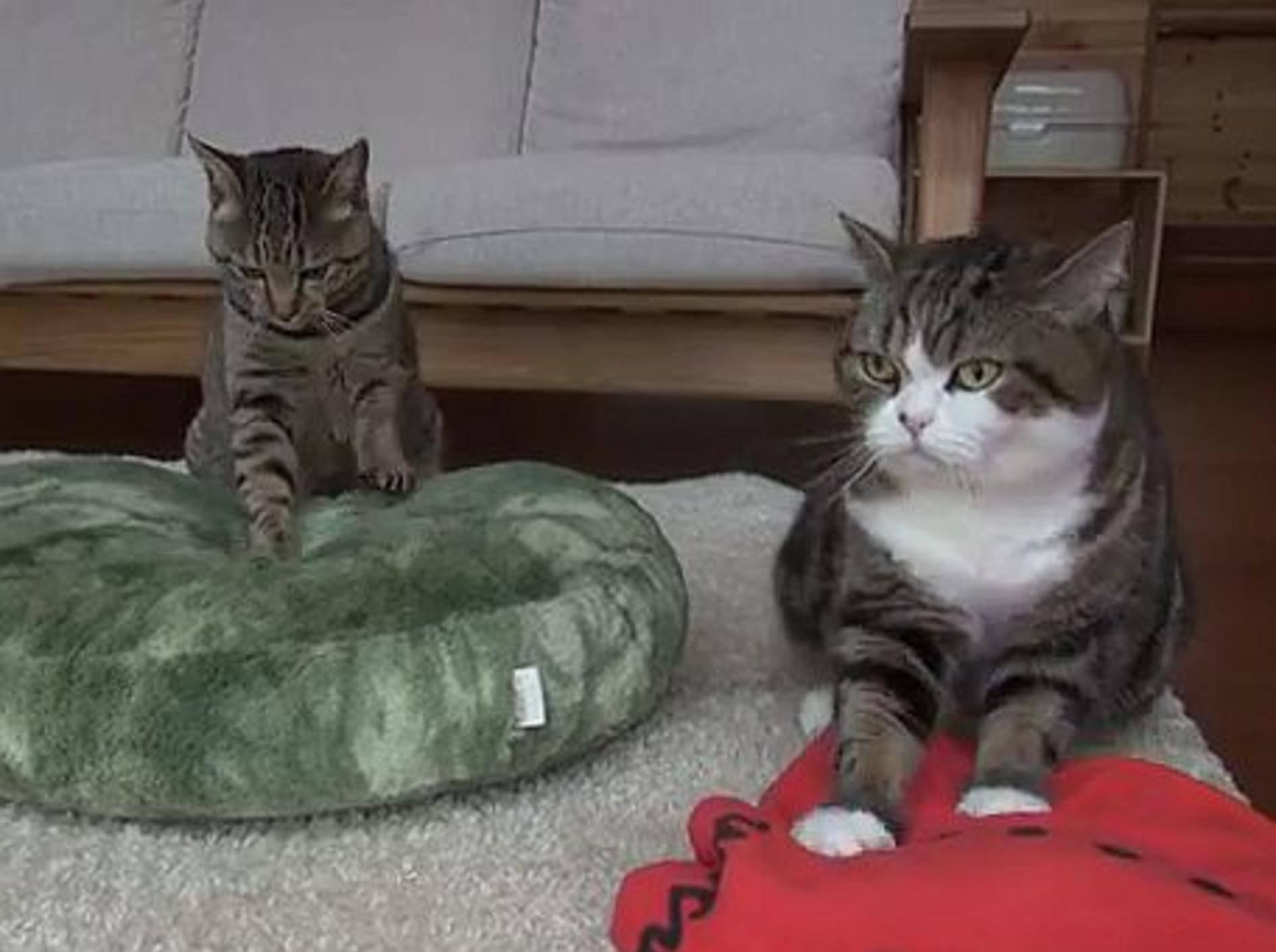 Maru und Hana sind die coolsten Katzenkumpel der Welt – Bild: Youtube / Funnycatsandnicefish