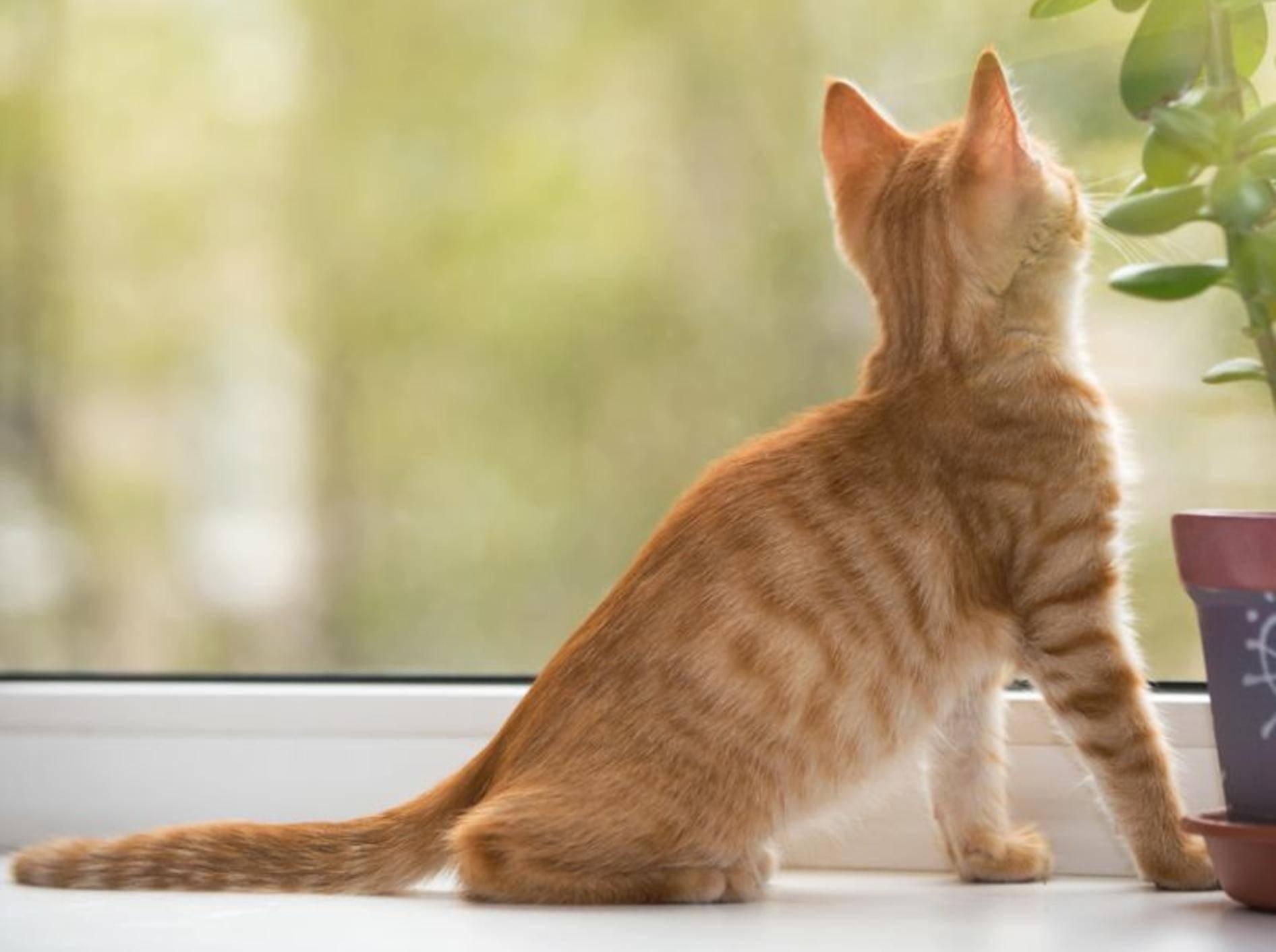 Vorsicht mit offenen Fenstern: Das Kippfenstersyndrom ist für Katzen sehr gefährlich – Bild: Shutterstock / Okssi
