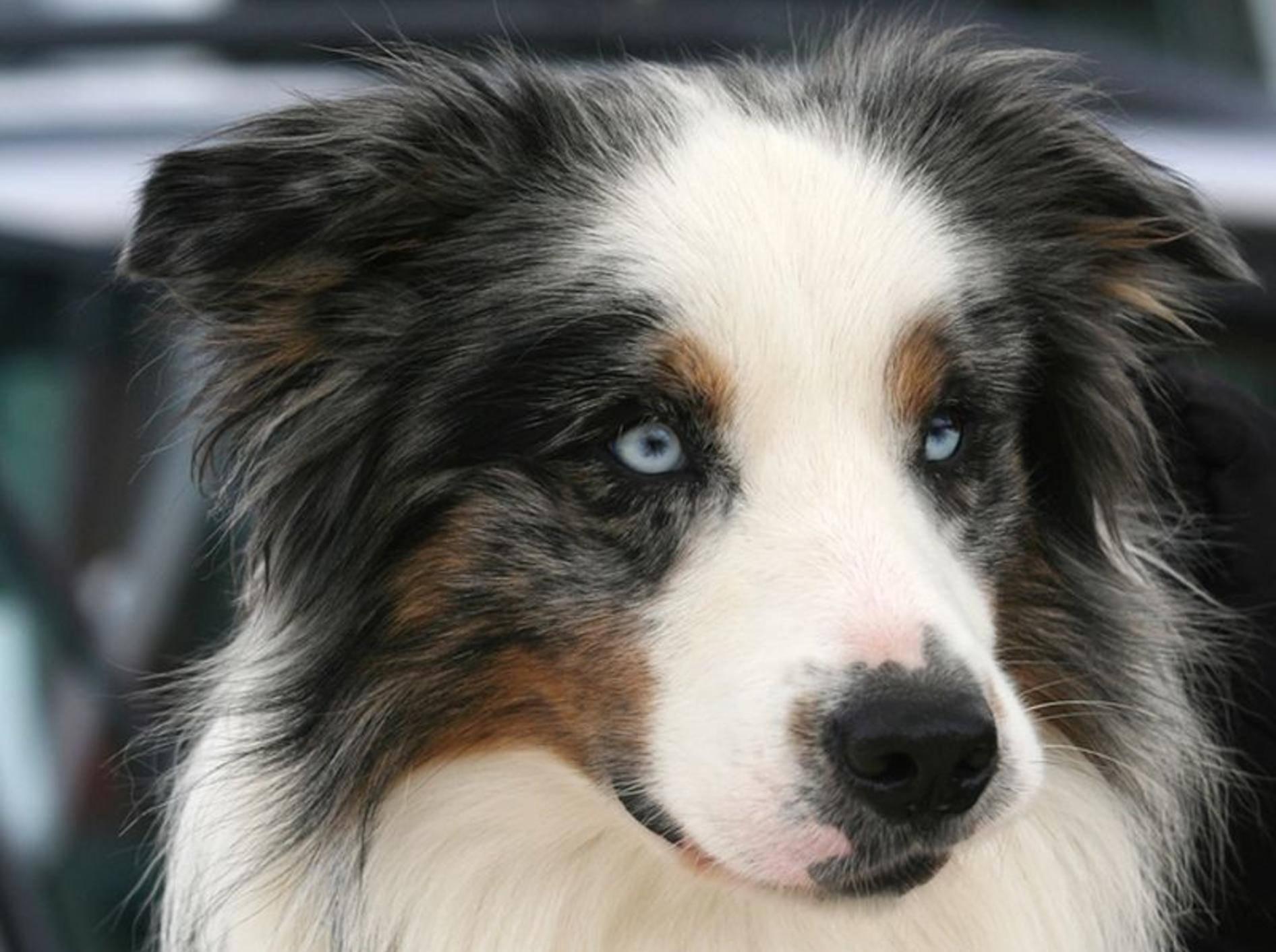 Buntes Fell, hellblaue Augen: Ein Traum, dieser Hund, oder? – Bild: Shutterstock / Cristina Annibali