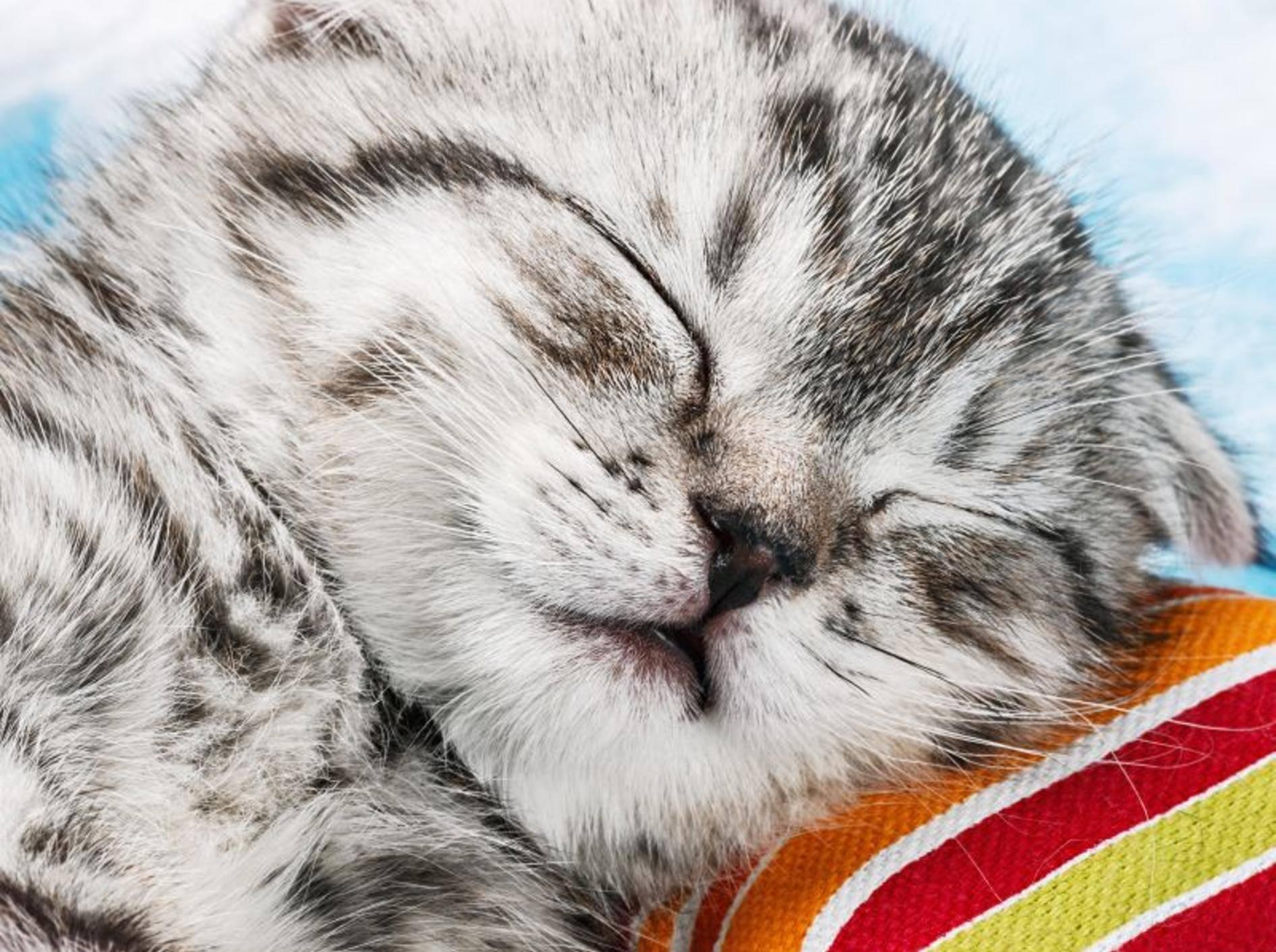 Catnip- und Baldriankissen für Katzen – Bild:Shutterstock / OlegDoroshin