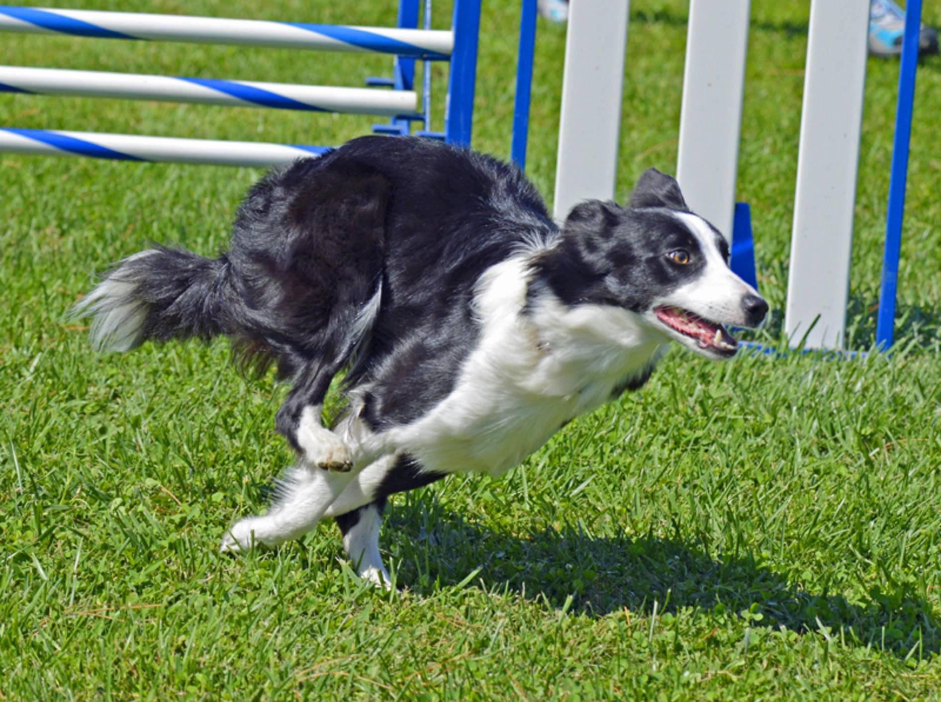 Der Border Collie gehört zu den beliebten Hunderassen für Agility – Bild: Shutterstock / Louis Mc Cleary