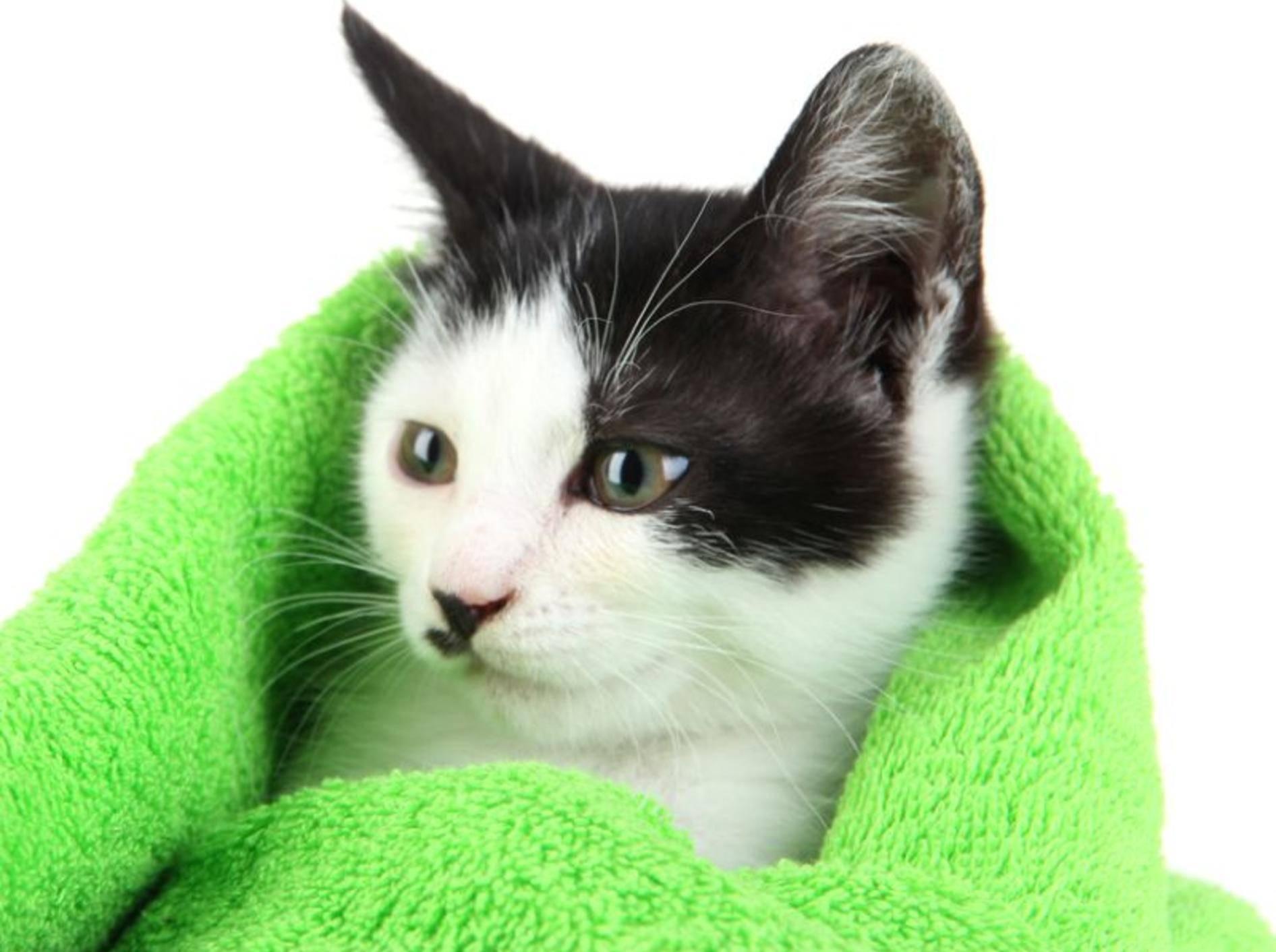 Nach dem Baden gibt es für die Katze ein warmes Handtuch und eine Belohnung – Bild: Shutterstock / Africa Studio