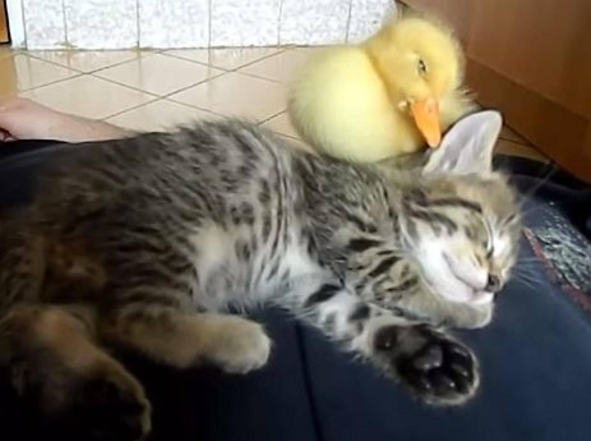Katzenbaby und Küken machen ein Mittagschläfchen – Bild: Youtube / mihaifrancu