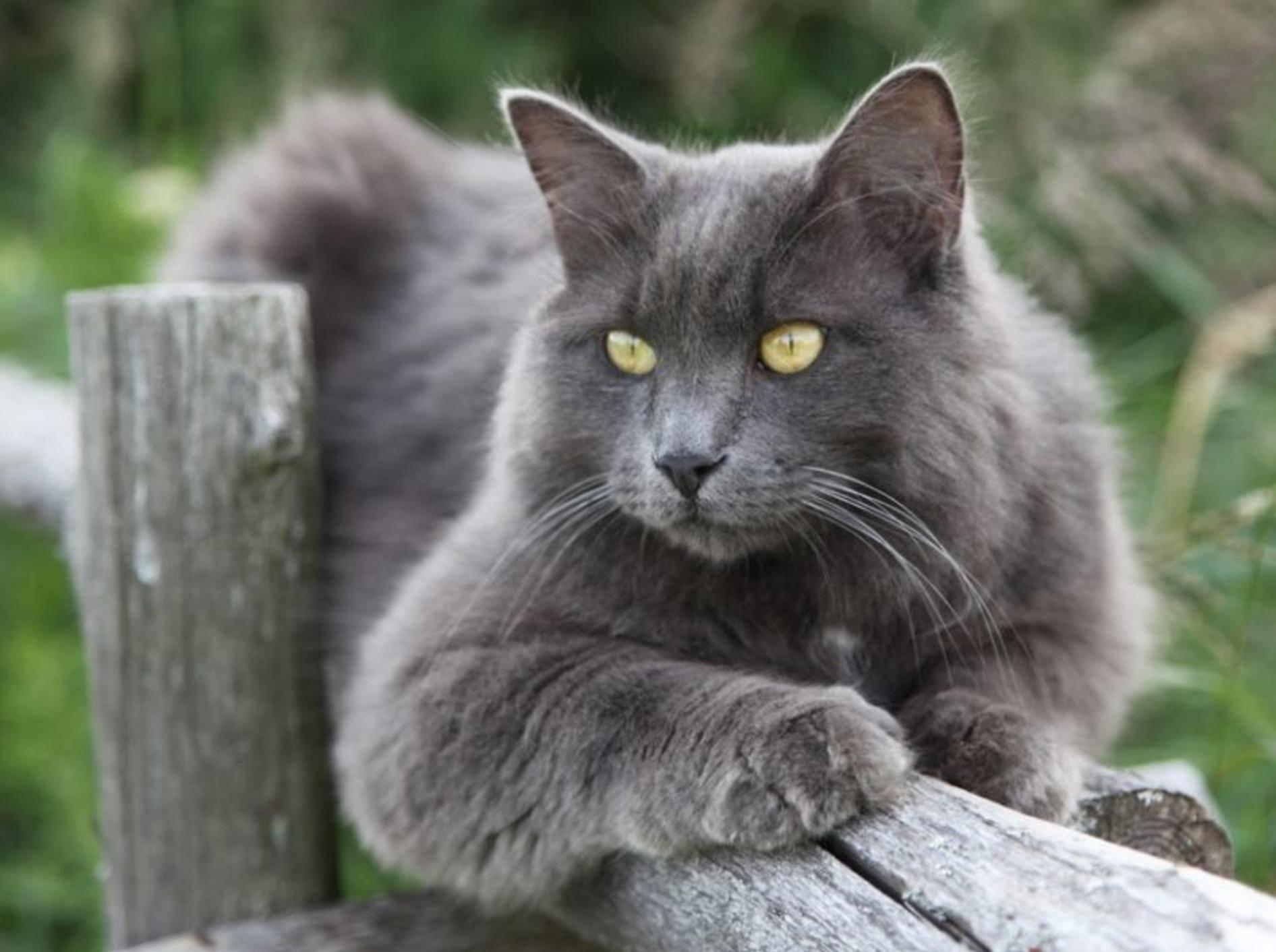 Traumhaftes Aussehen, zartes Wesen: Die Nebelung Katze – Bild: Shutterstock / Angel721