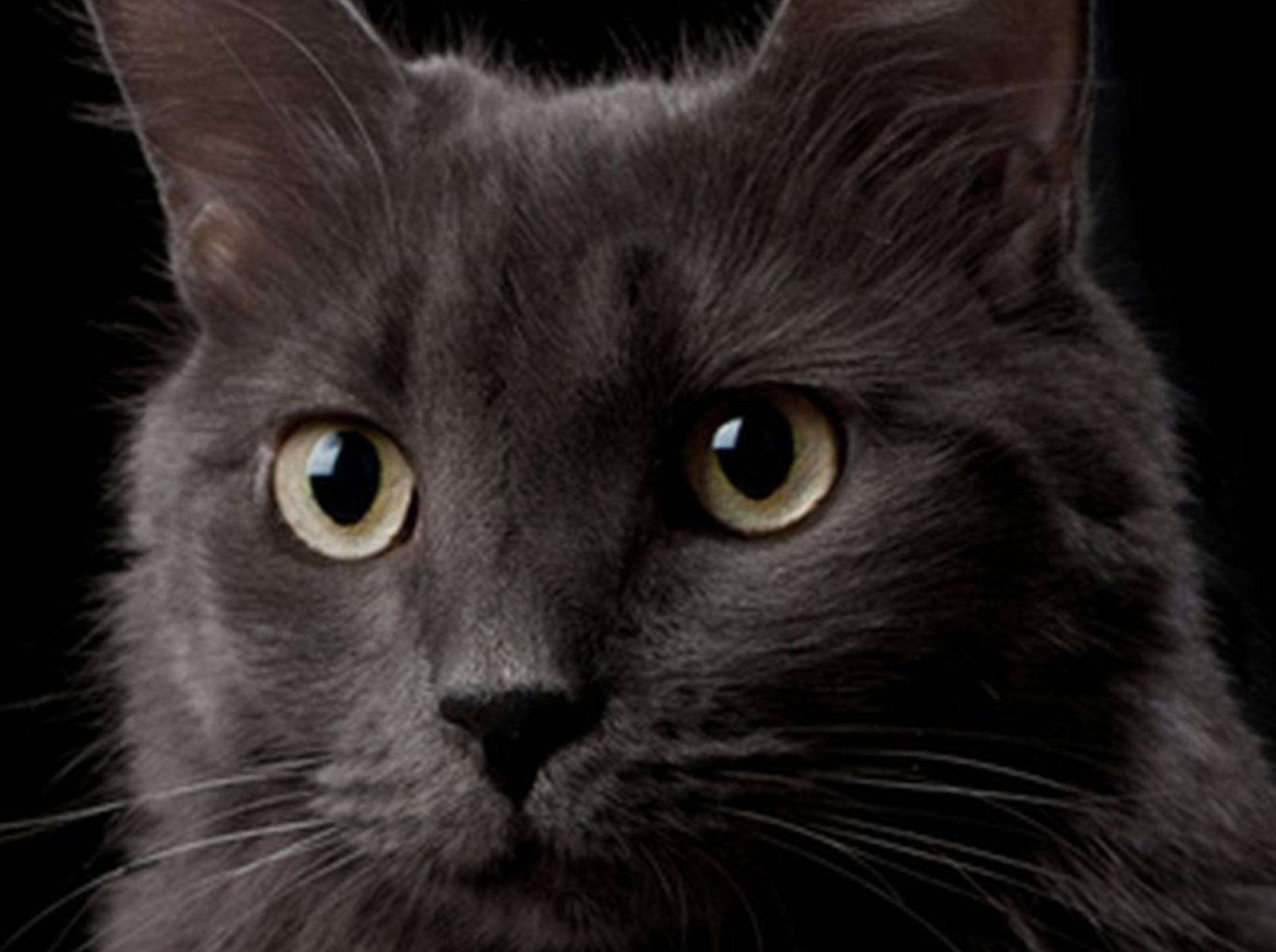 Die Nebelung Katze liebt ihr Zuhause ruhig und gemütlich – Bild: Shutterstock / Katrina Elena