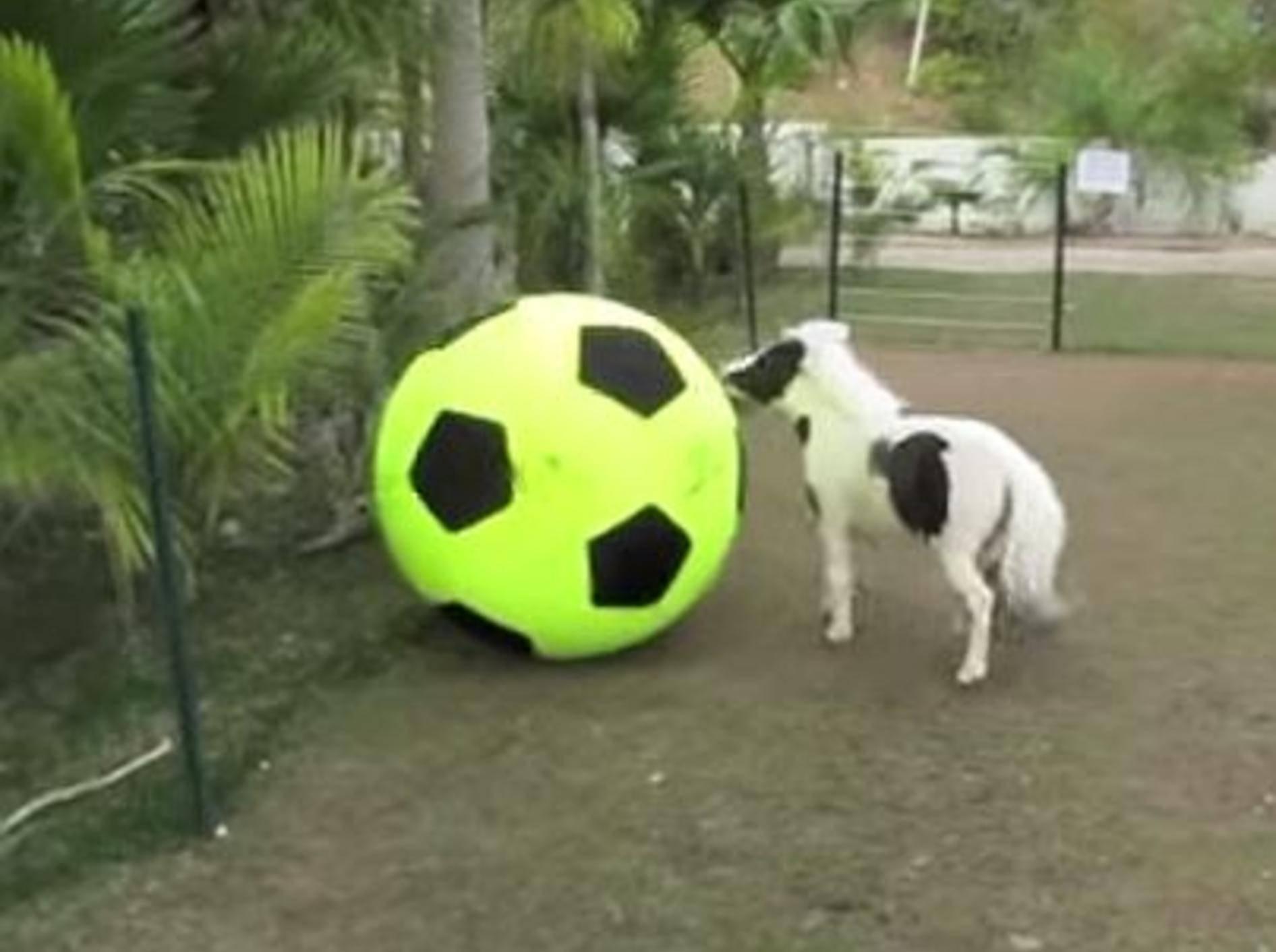 So niedlich: Minipony vs. Riesenball – Bild: Youtube / Einstein Minihorse