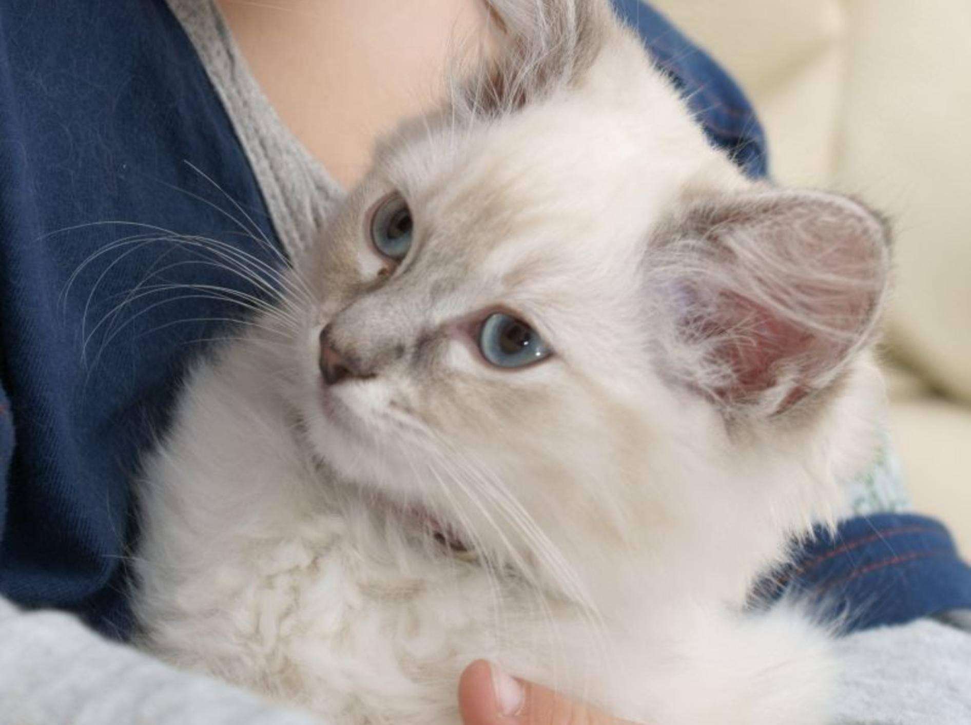 Die liebevolle Ragdoll Katze muss man einfach gern haben! – Bild: Shutterstock / cath5