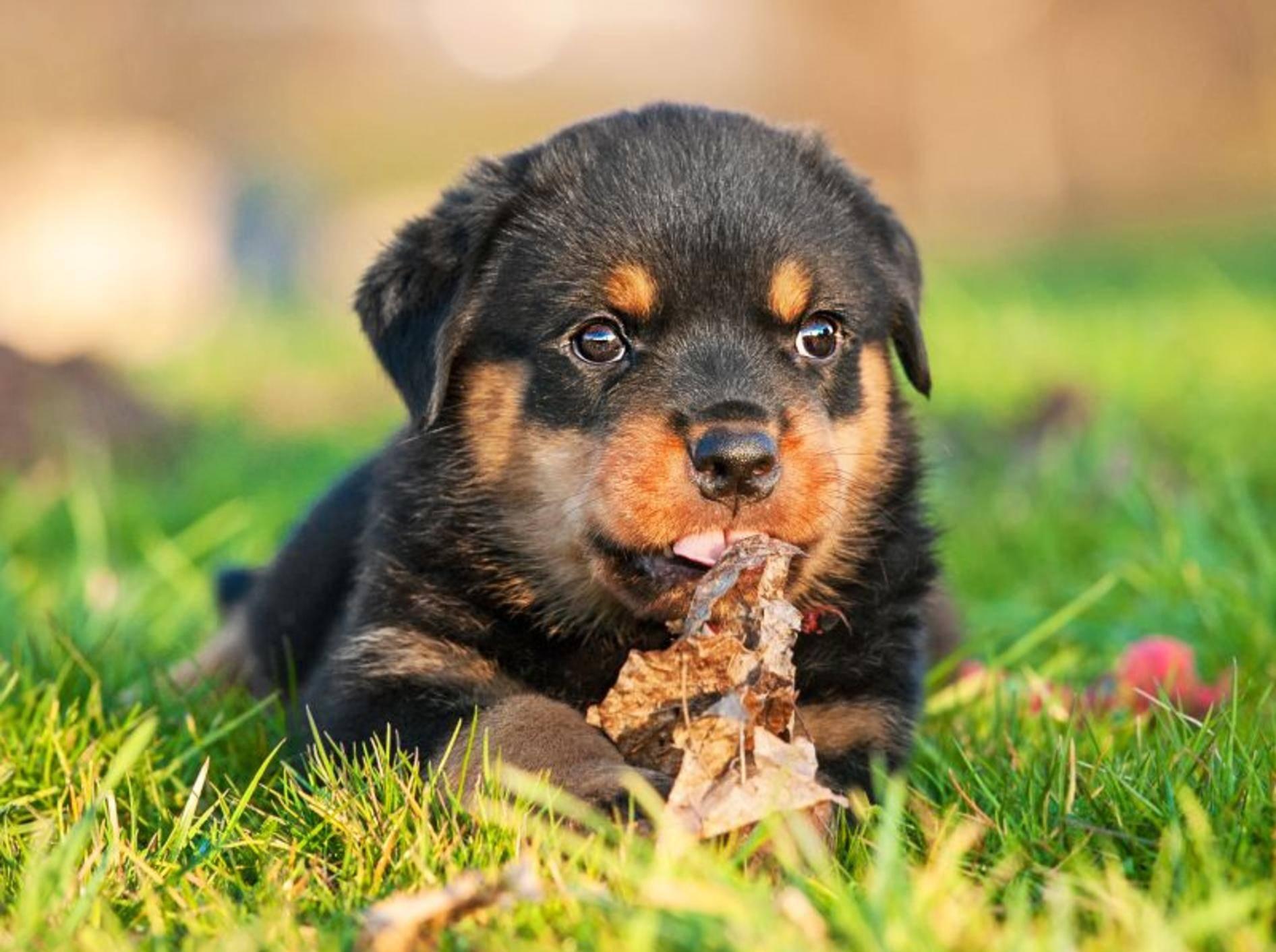 Kleiner Rottweiler, große Kulleraugen: Ist dieser Welpe nicht süß? – Bild: Shutterstock / Rita Kochmarjova