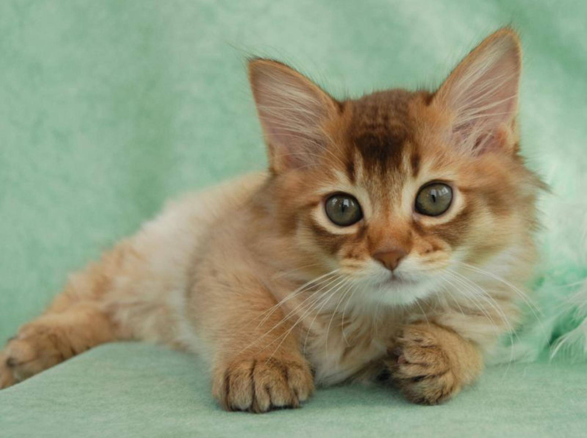 Die Somali-Katze ist eng mit der Abessinierkatze verwandt. Das sieht man auch, oder? – Bild: Shutterstock / Sarah Newton