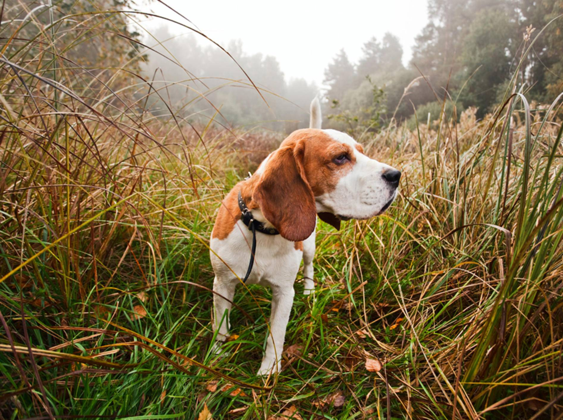 Beagle gehören zu den Hunden mit ausgeprägtem Jagdverhalten – Bild: Shutterstock / Igor Normann