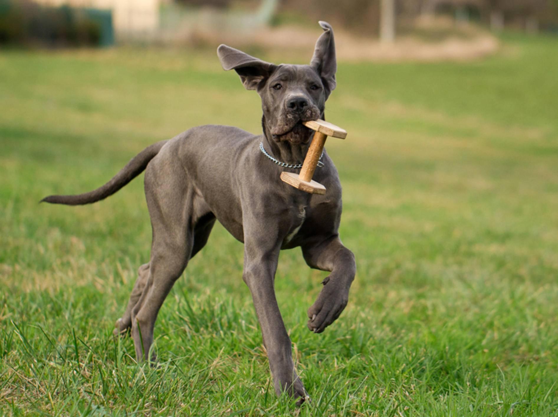 Die Dänische Dogge ist eine der größten Hunderassen der Welt – Bild: Shutterstock / MF Photo