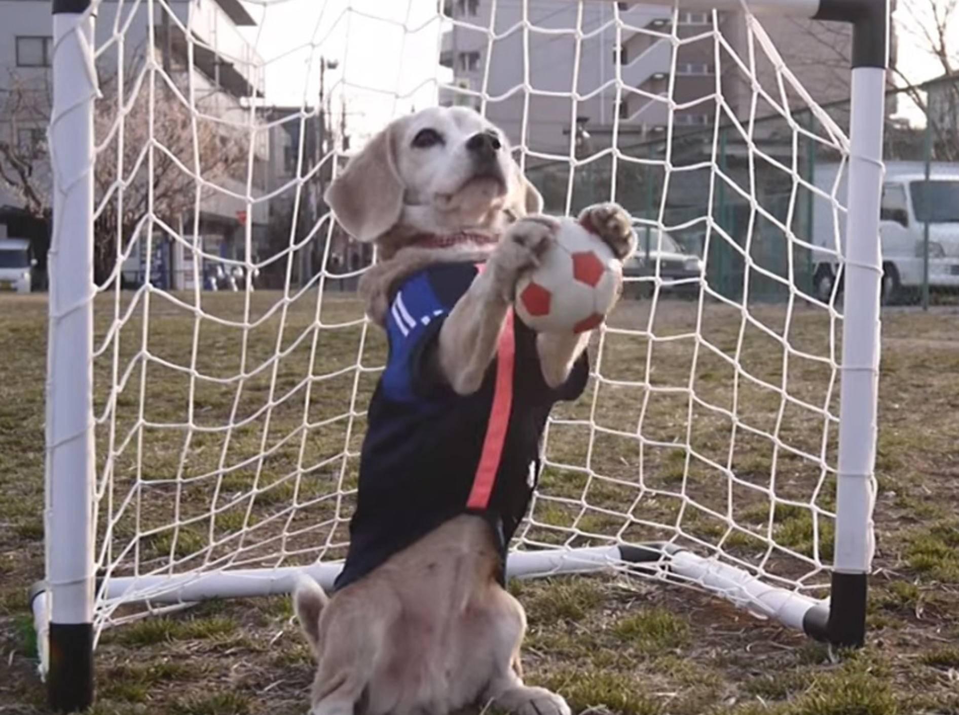 Süßer Beagle ist startklar für die Fußball-WM – Bild: Youtube / Purin Kumagai