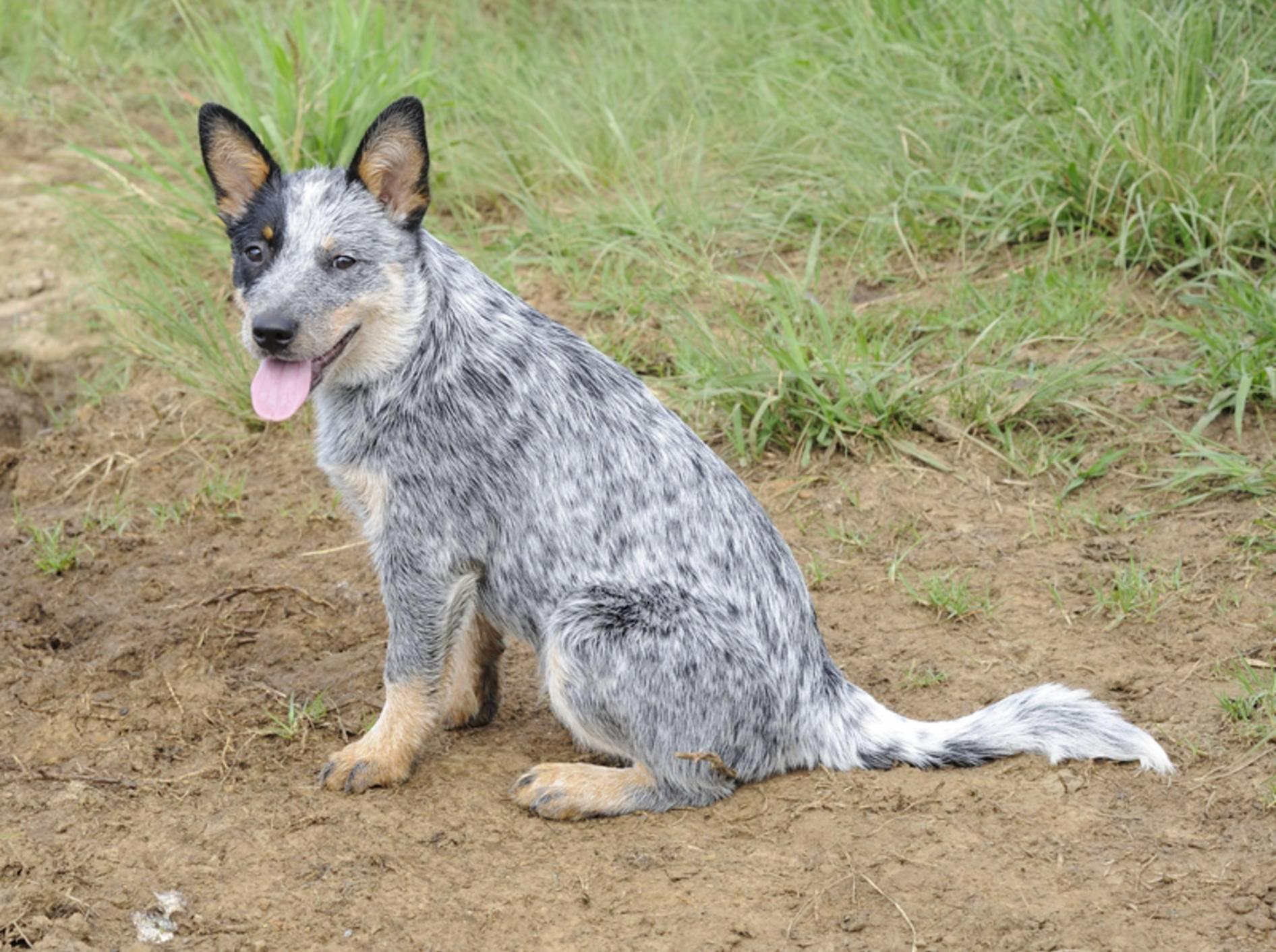 Die Haltung des Australian Cattle Dogs erfordert viel Zeit und Beschäftigung mit dem Tier – Bild: Shutterstock / WOLF AVNI