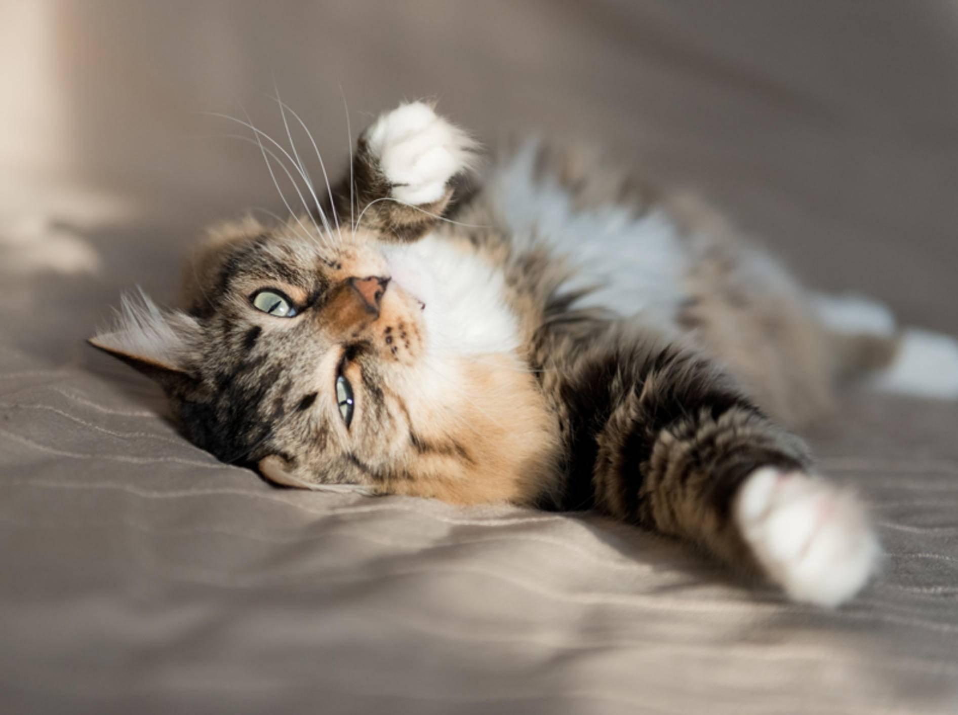 Praktische Tools gegen Katzenhaare auf Textilien – Bild: Shutterstock / Valeri Potapova