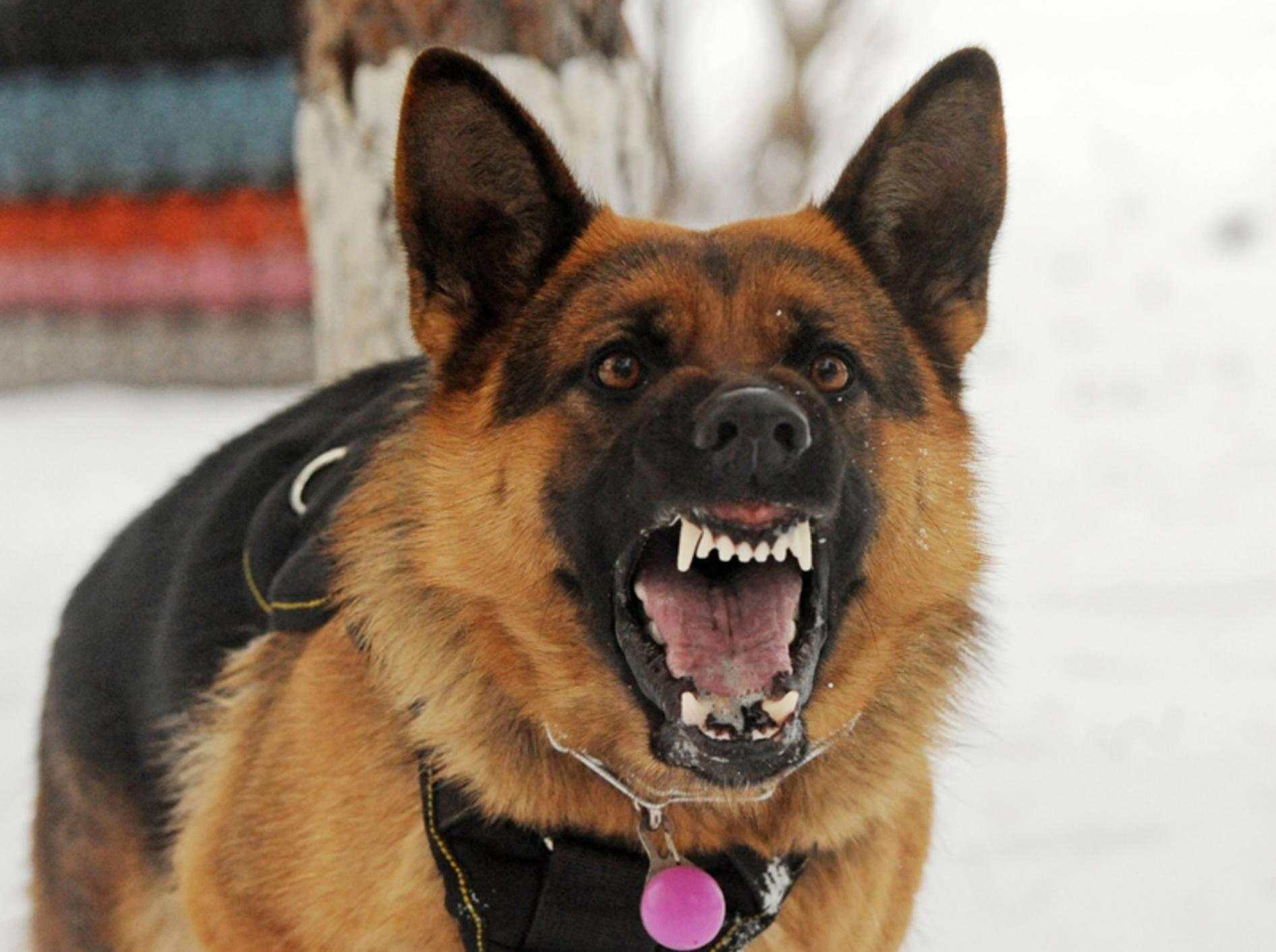 Aggression und Bissgkeit sind typische Symptome der ersten Phase der Tollwut – Bild: Shutterstock / Victoria Antanova