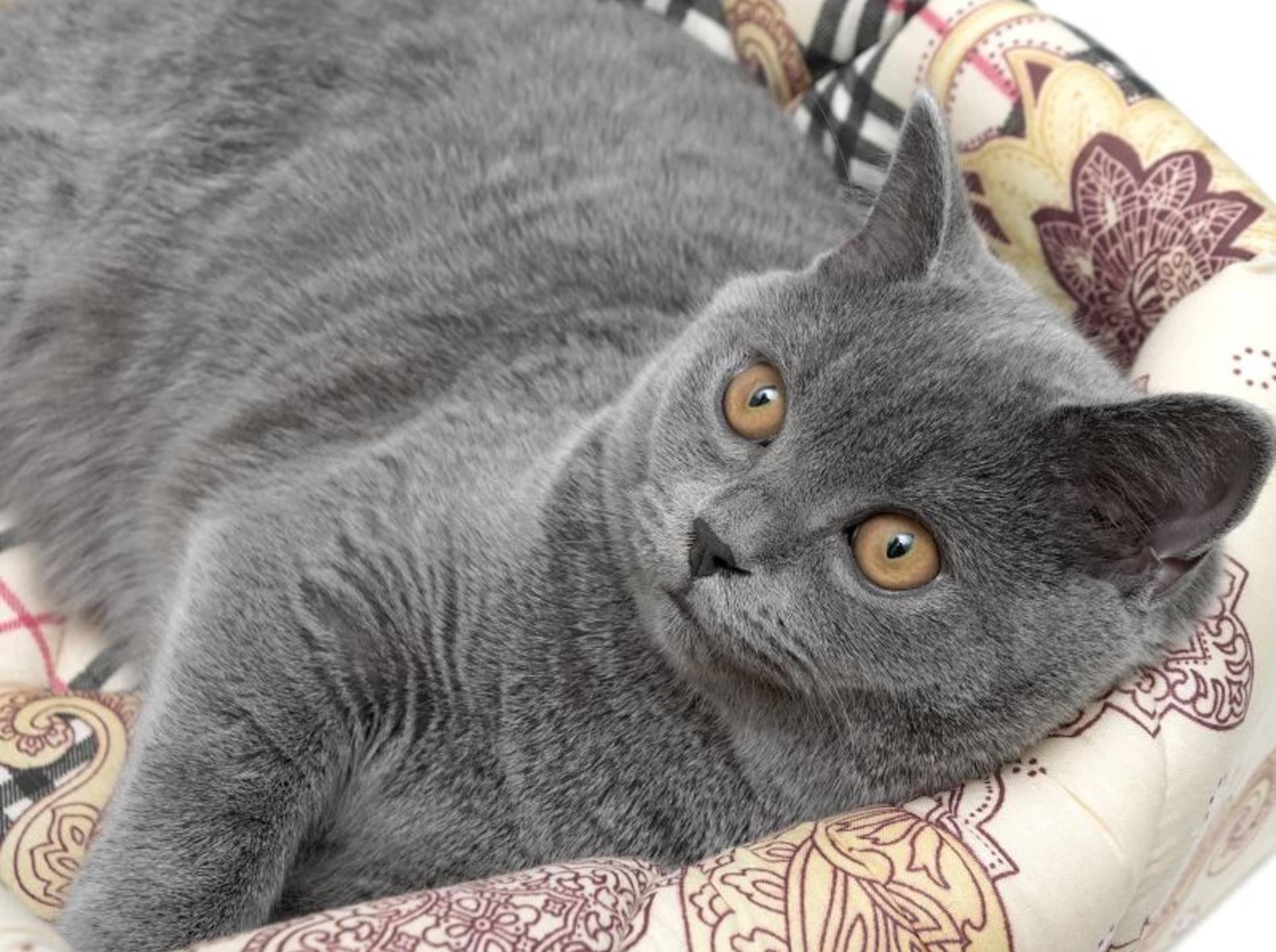 Ein gesundes Katzenfell ist dicht, glänzend und schuppenfrei – Bild: Shutterstock / Evgenyi