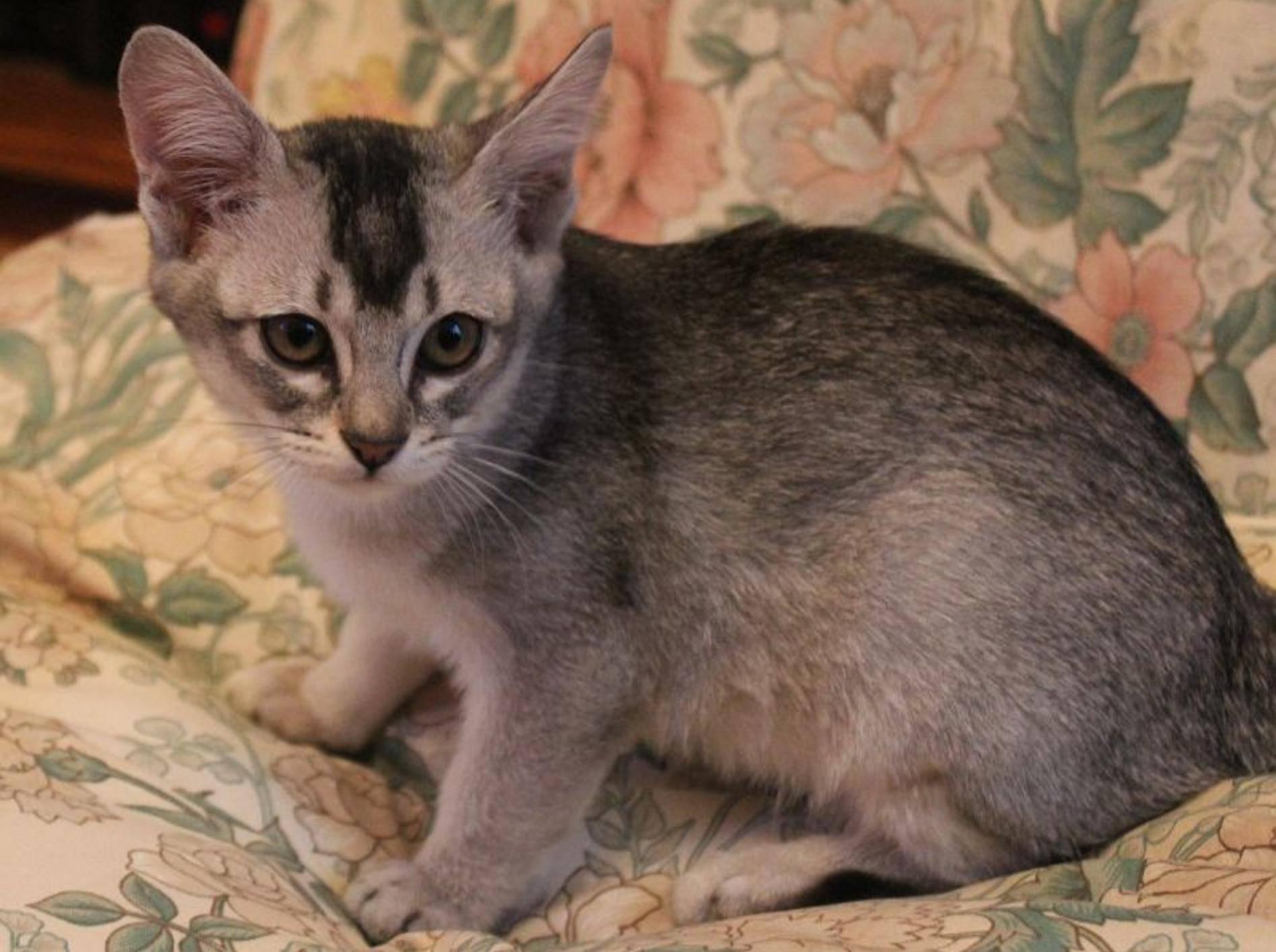 Die Burmilla: Eine schöne, verschmuste und verspielte Katze – Bild: (CC) Flickr / Sarah Joy (Joybot) / https://www.flickr.com/photos/joybot/