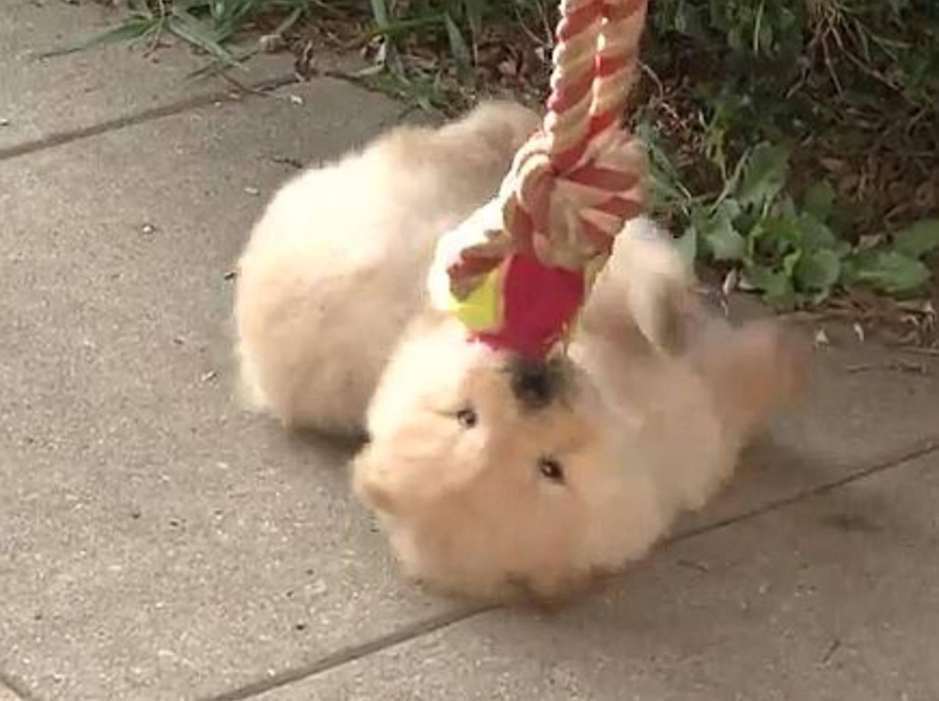 """Kleiner Chow-Chow: """"Ich liebe Spielen!!!"""" – Bild: Youtube / The Pet Collective"""