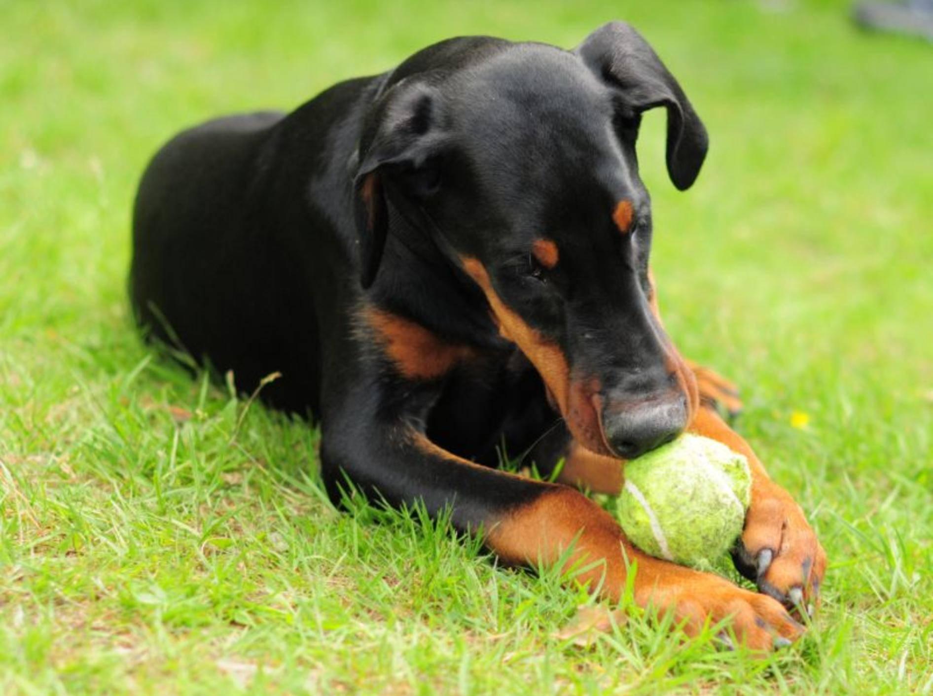 Ein gut erzogener Dobermann ist freundlich und verträglich – Bild: Shutterstock / morbi