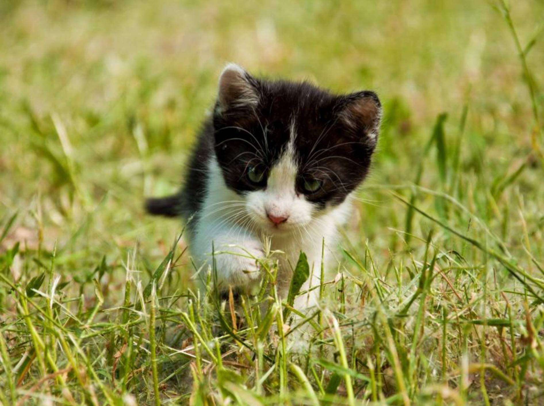 Ataxie Katze